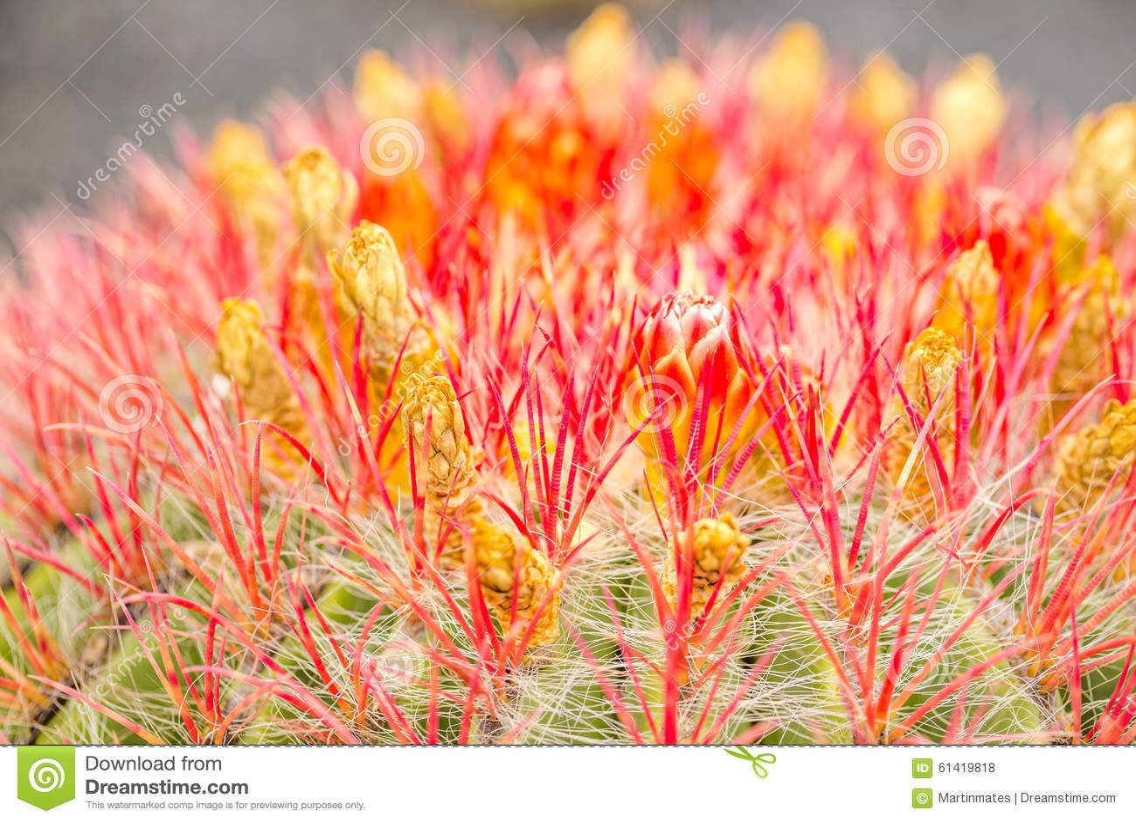 Detalj av den röda blomkaktuns