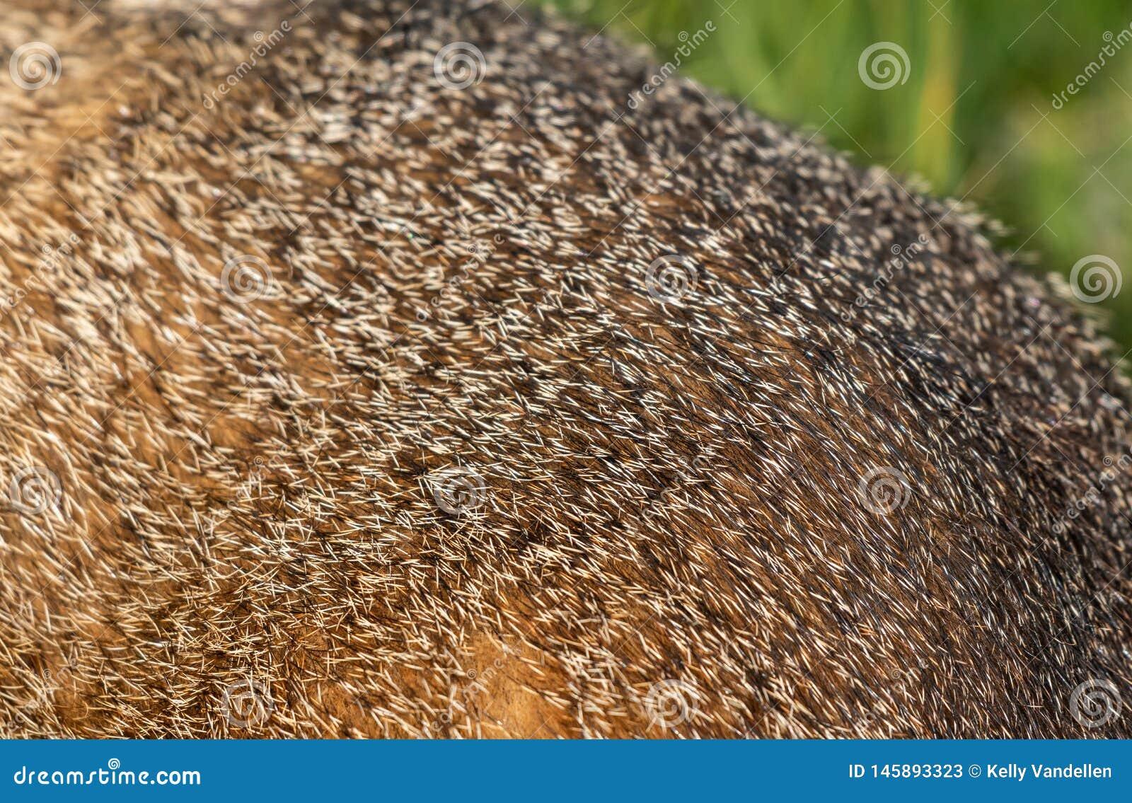 Detalj av murmeldjurpäls