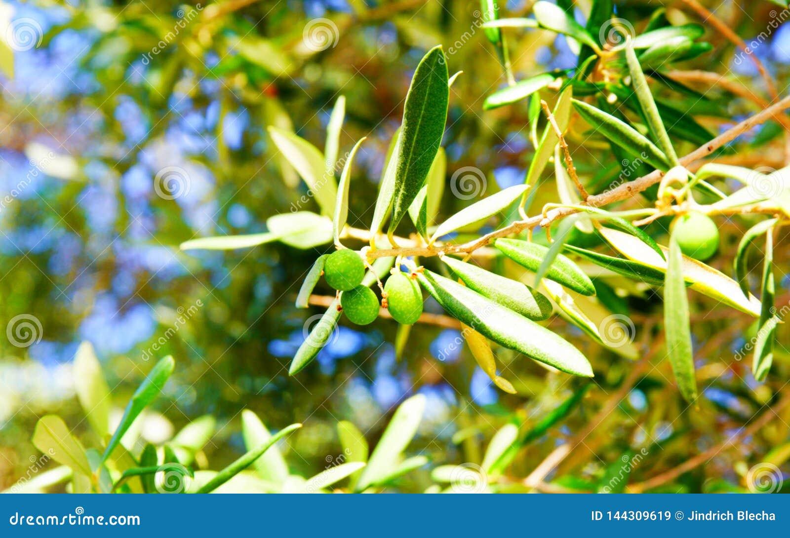 Detalj av olivträdfilialen nära Ekklisia Agios Ioannis Chapel, Skopelos, Grekland