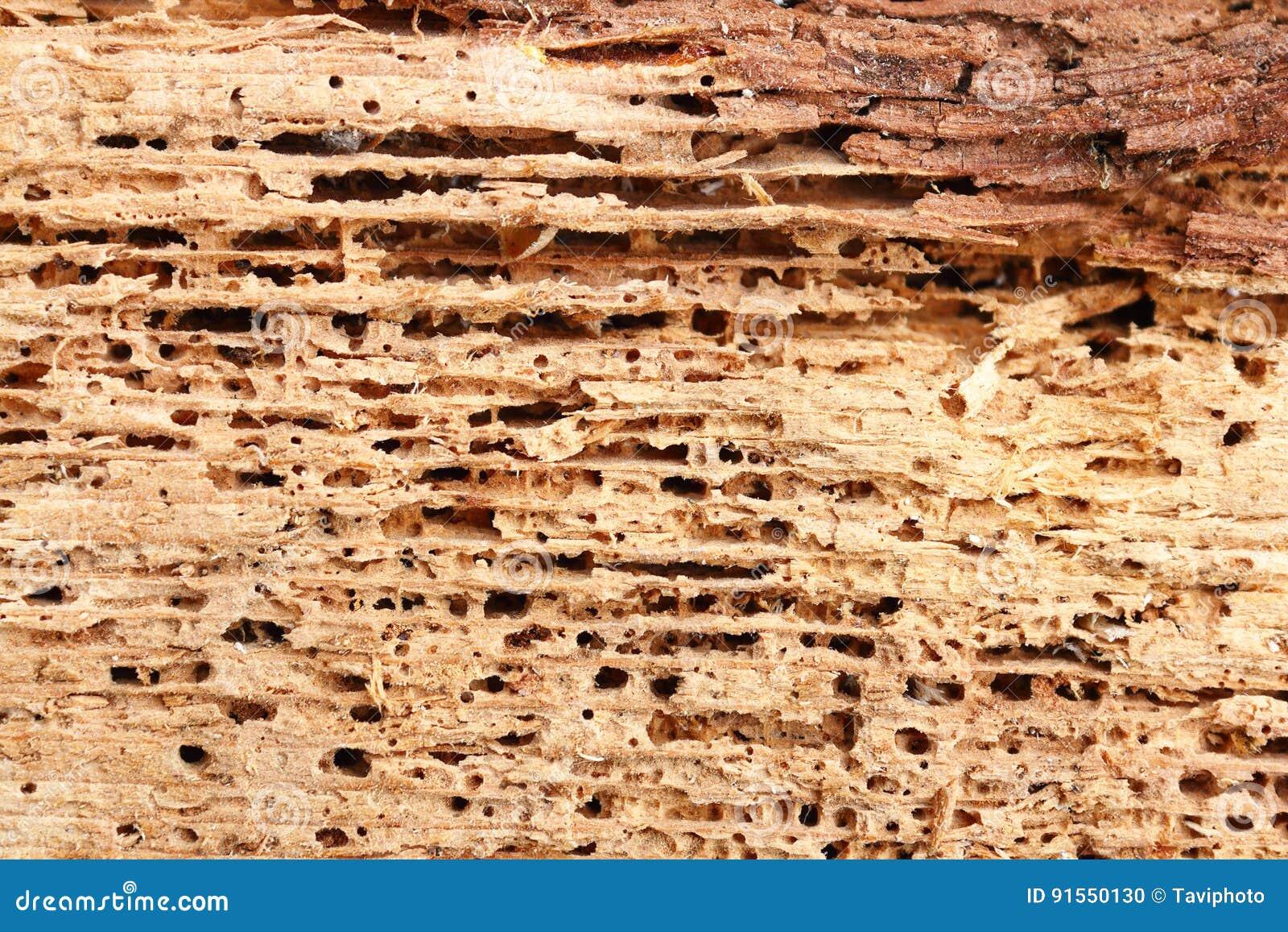 Detalj av wood skadat för gran vid svampen och kryp