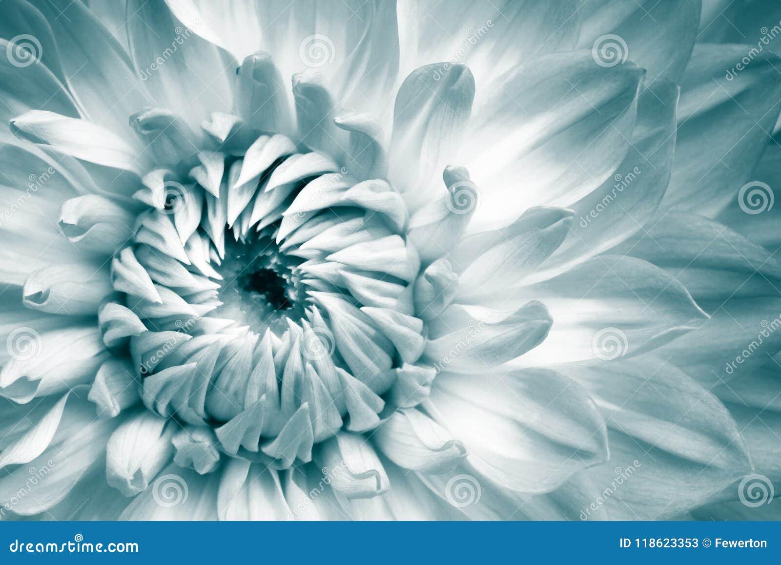 Detaljer av vit och ljus - blått fotografi för makro för ny blomma för dahlia Färg tonat foto med grönaktiga turkossignaler