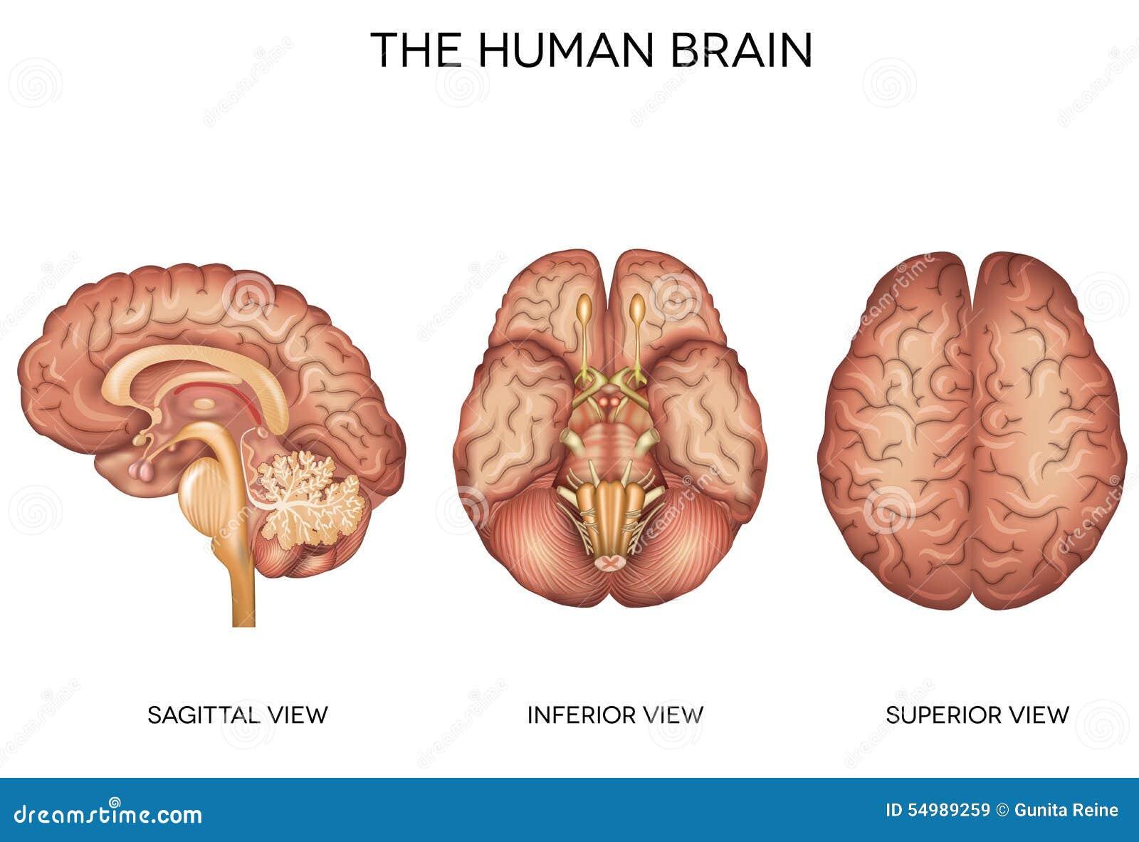 Detaljerad anatomi för mänsklig hjärna
