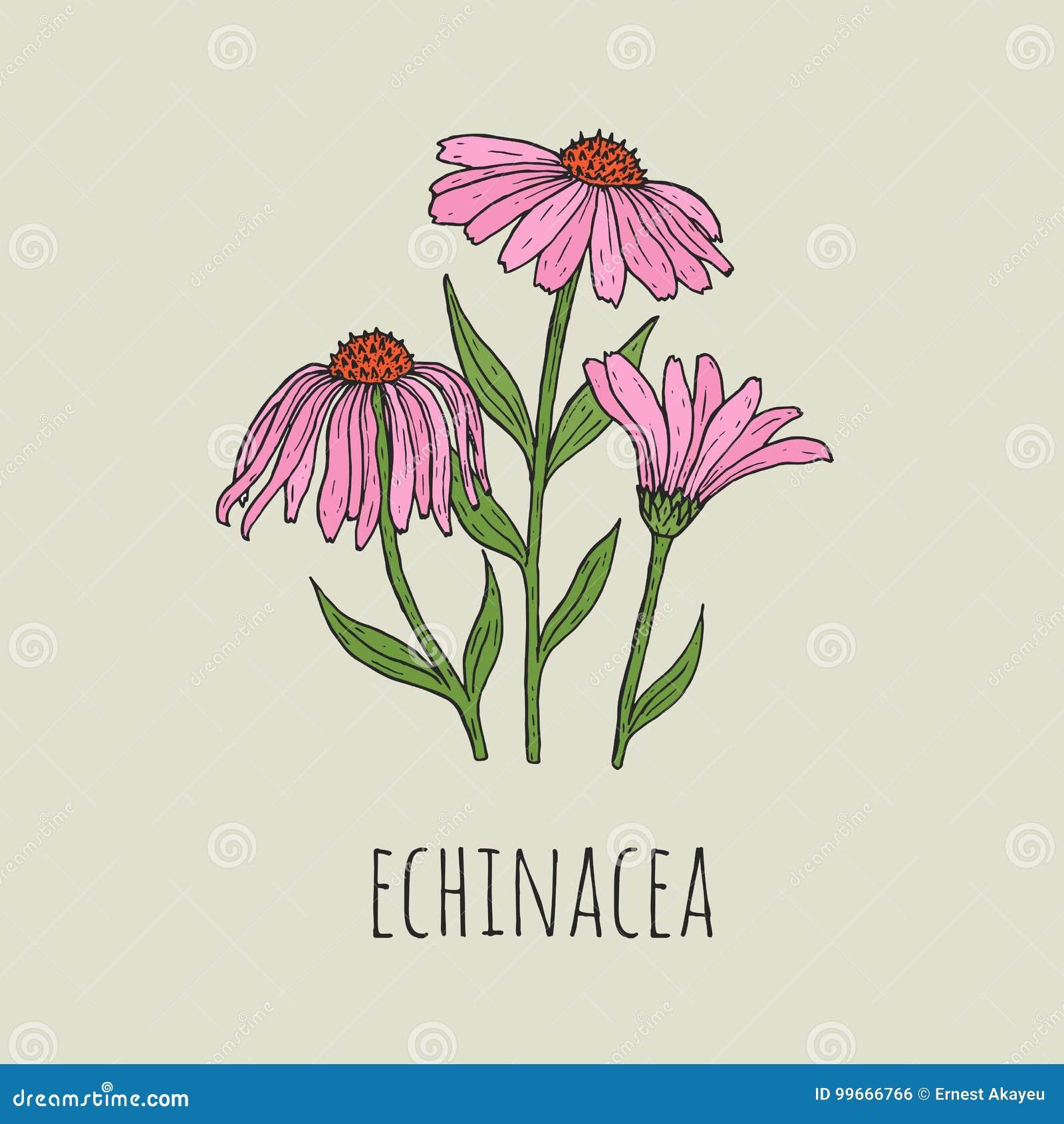 Detaljerad botanisk teckning av elegant rosa växa för echinaceablommor på gröna stammar Härlig blomstra växthand