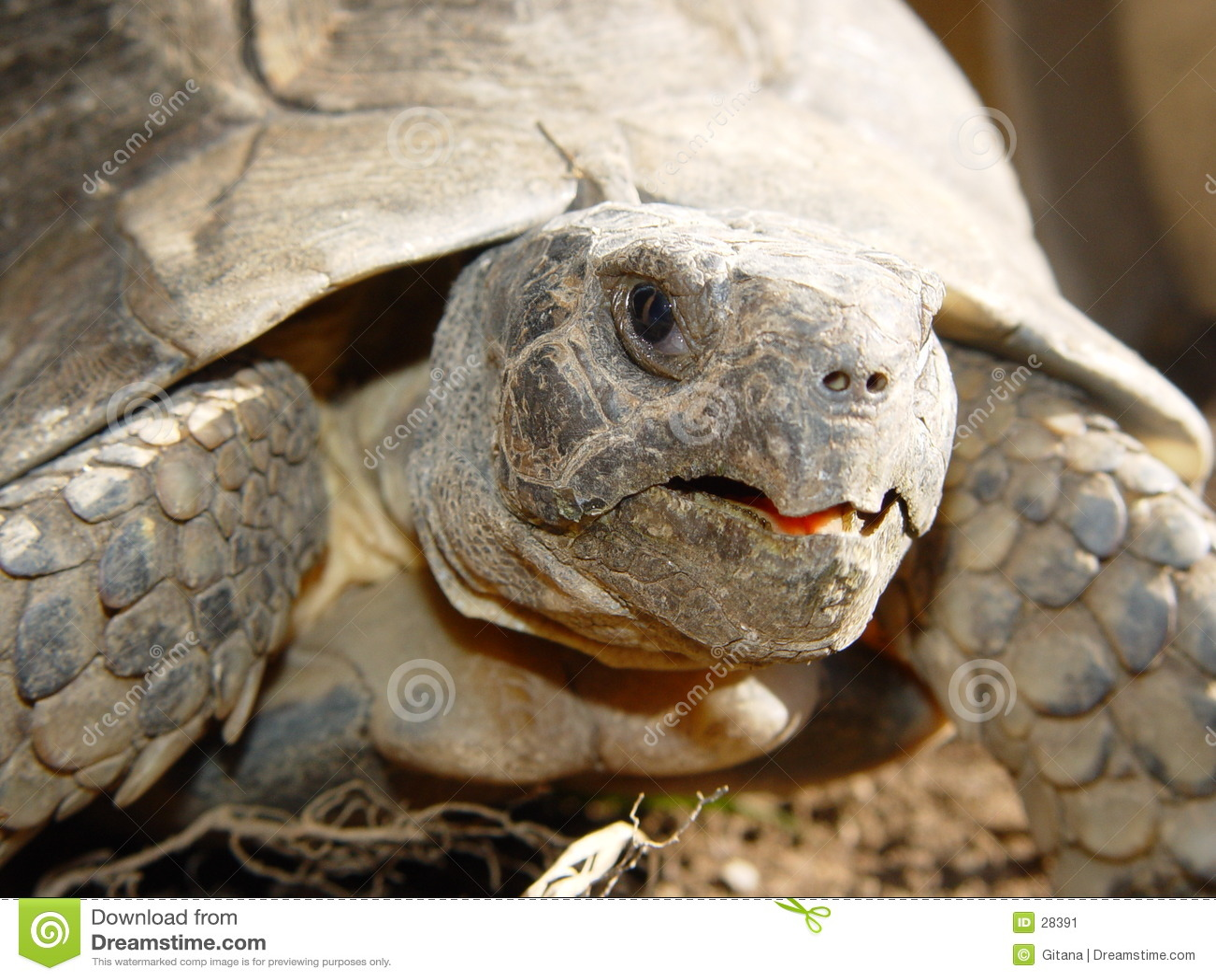 Detaljsköldpadda