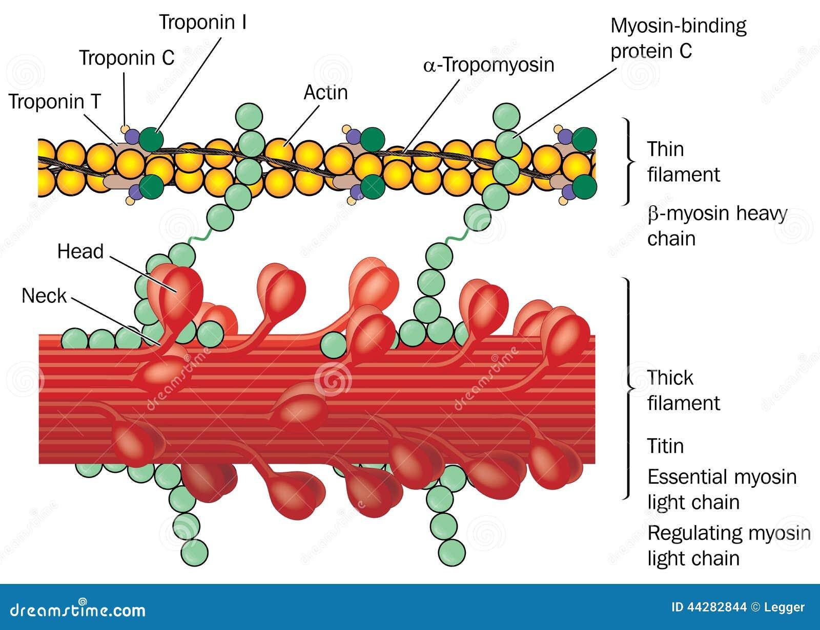 Detalle de la fisiología del músculo