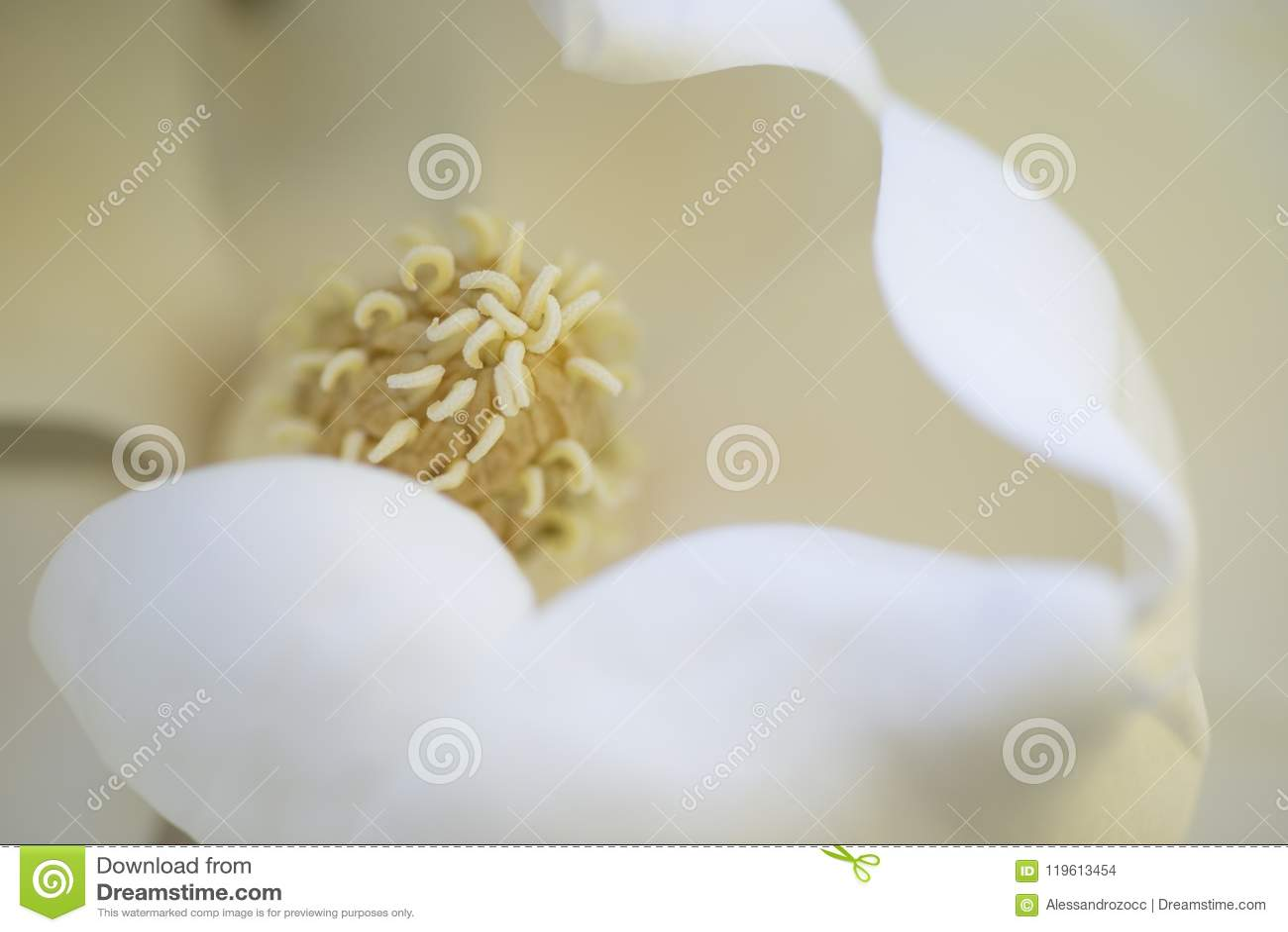 Detalle de la flor de la magnolia meridional