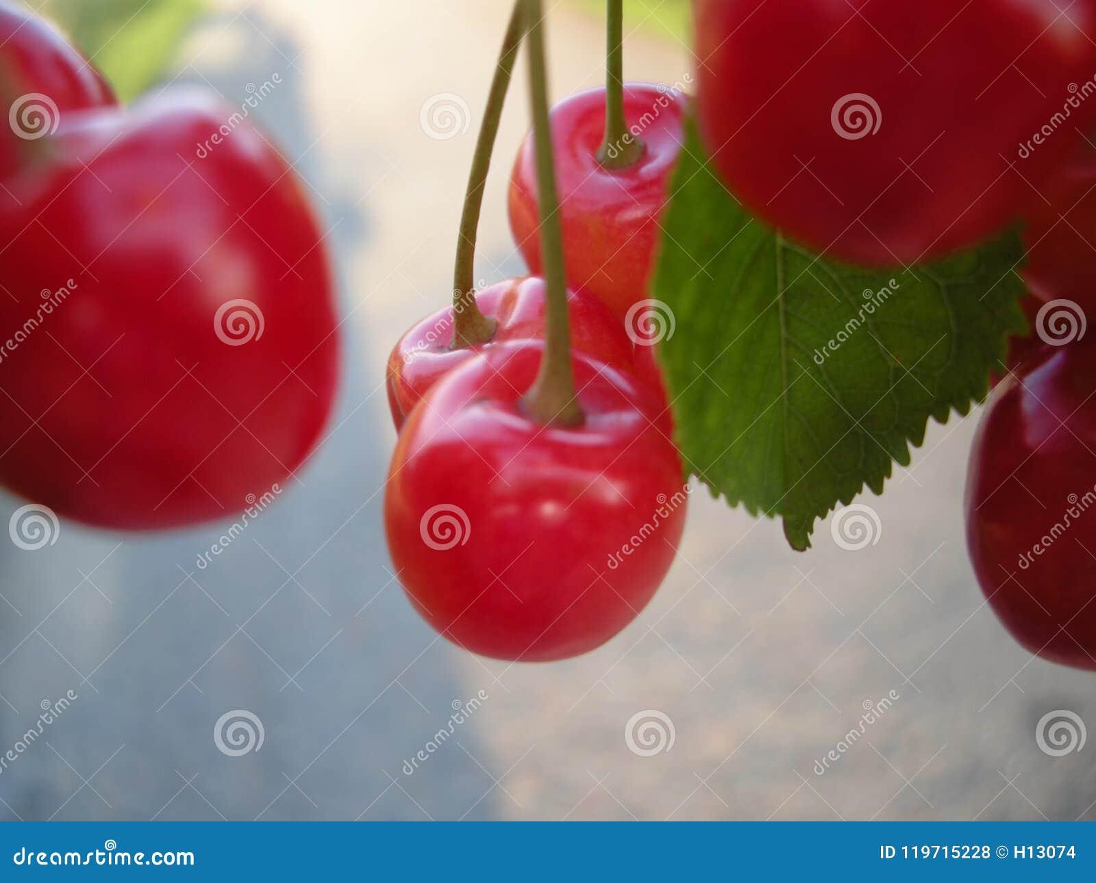 Detalle de la fruta de la cereza en el árbol en junio
