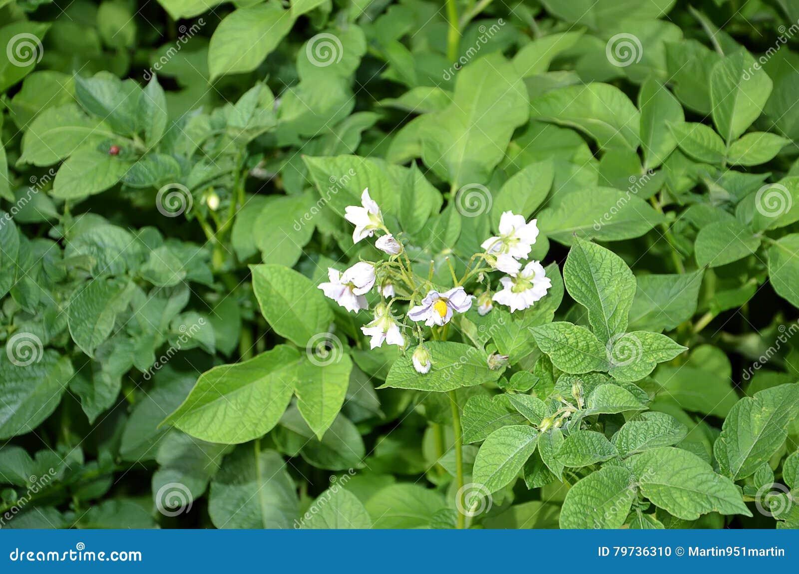 Detalle de la patata floreciente en el color de campo