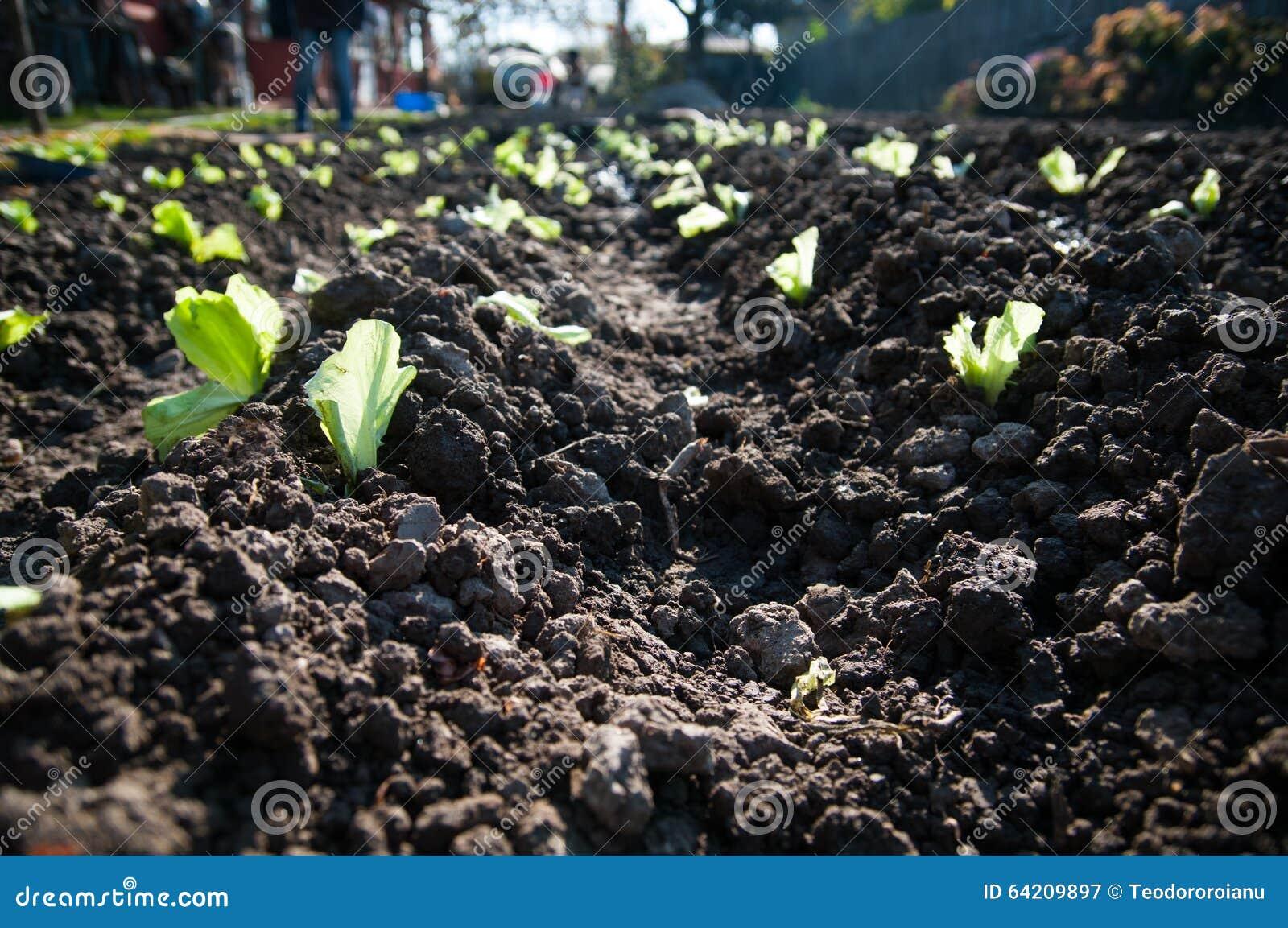 Detalle de la plantación de la lechuga