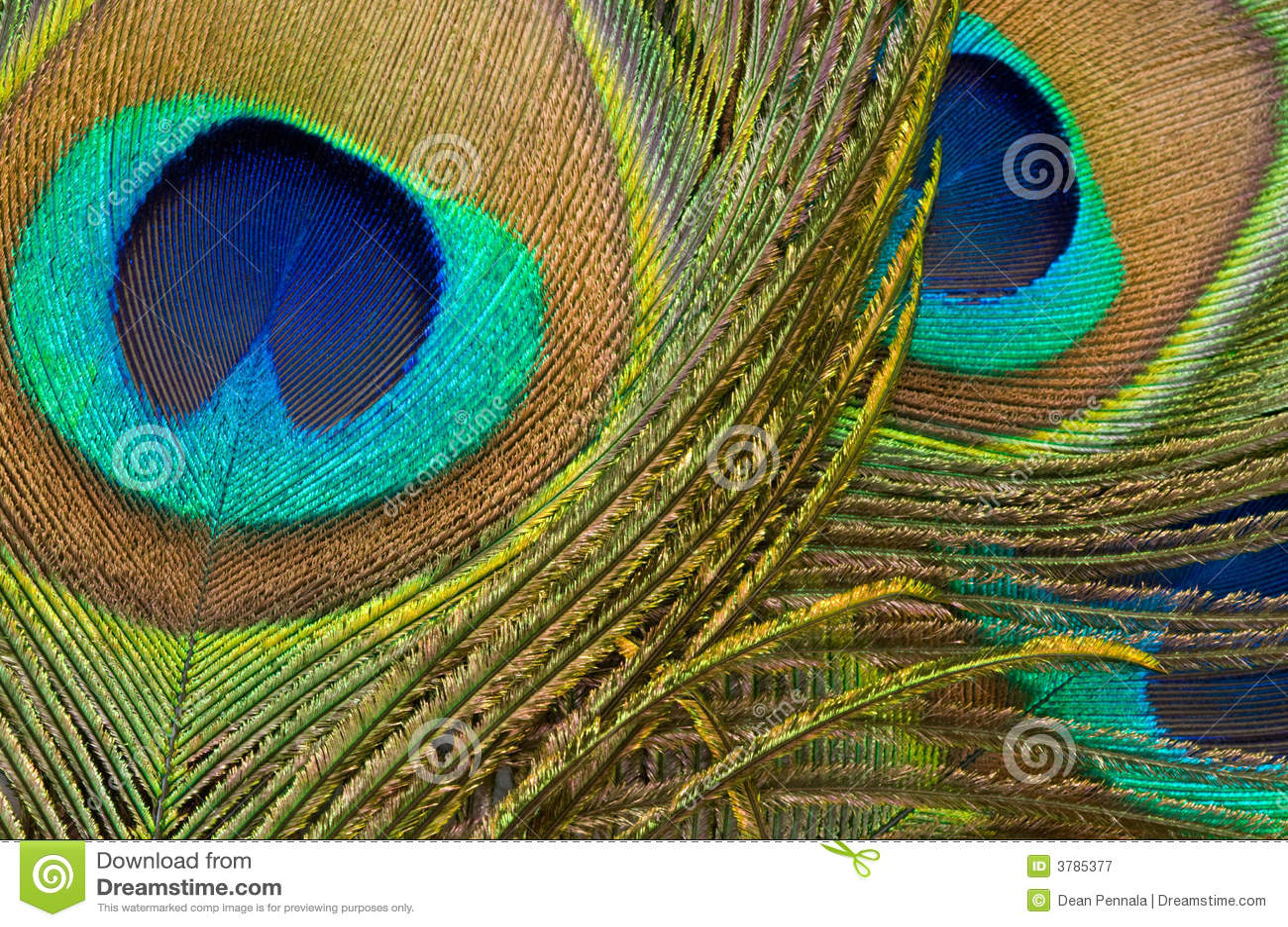 Detalle de la pluma del pavo real
