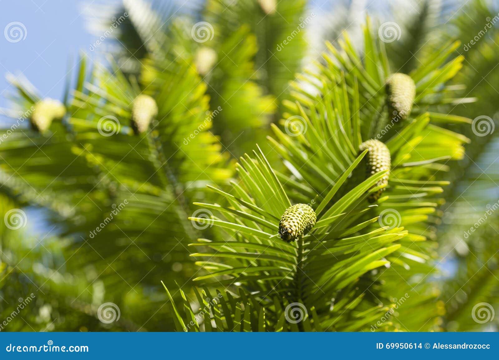 Detalle de los nobilis de Wollemia de hojas y de conos