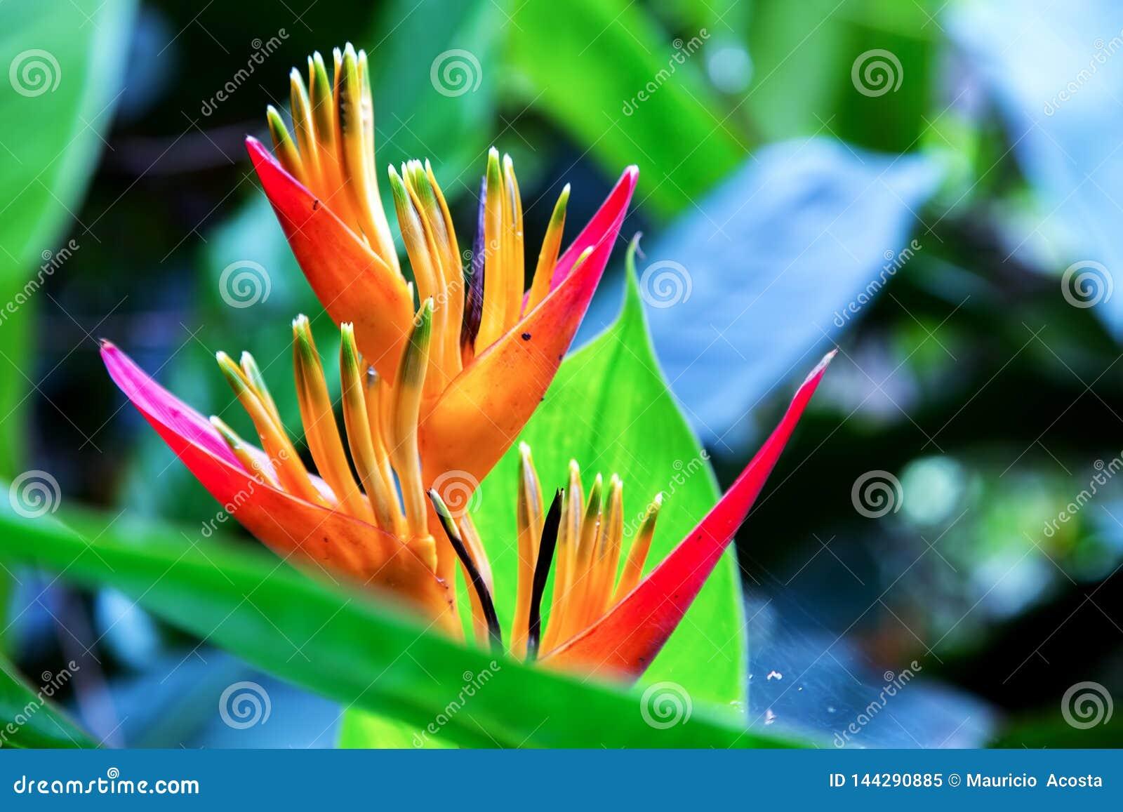 Detalle de una flor ex?tica del heliconia