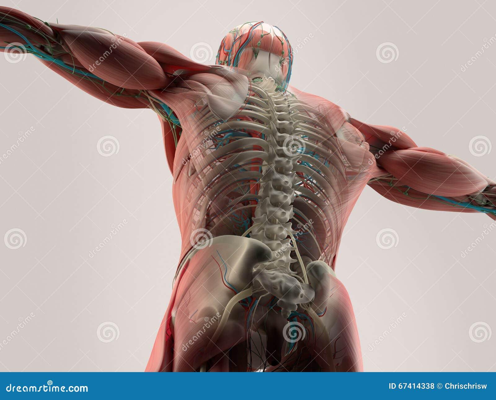 Detalle humano de la anatomía de la parte posterior, espina dorsal Estructura del hueso, músculo En fondo llano del estudio