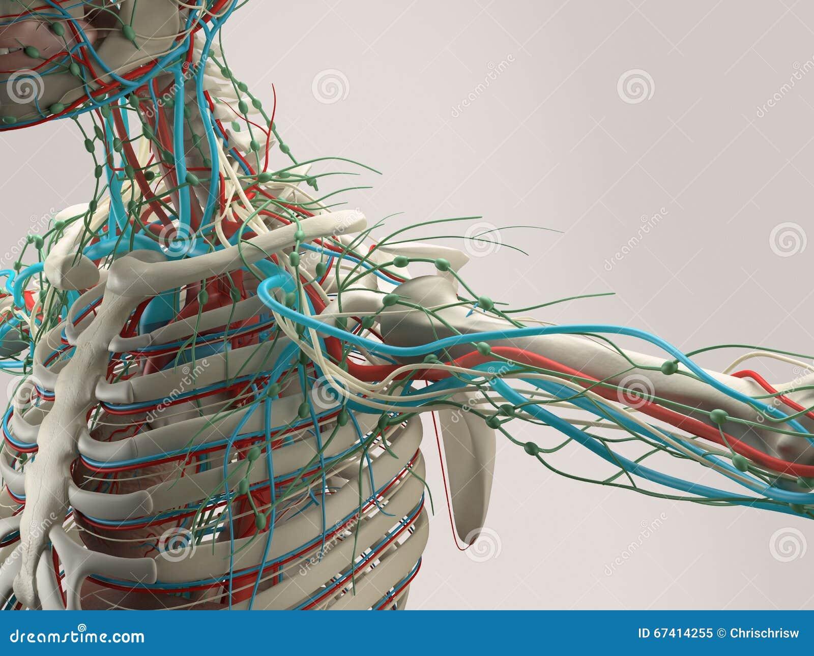 Detalle Humano De La Anatomía Del Hombro Estructura Del Hueso En ...