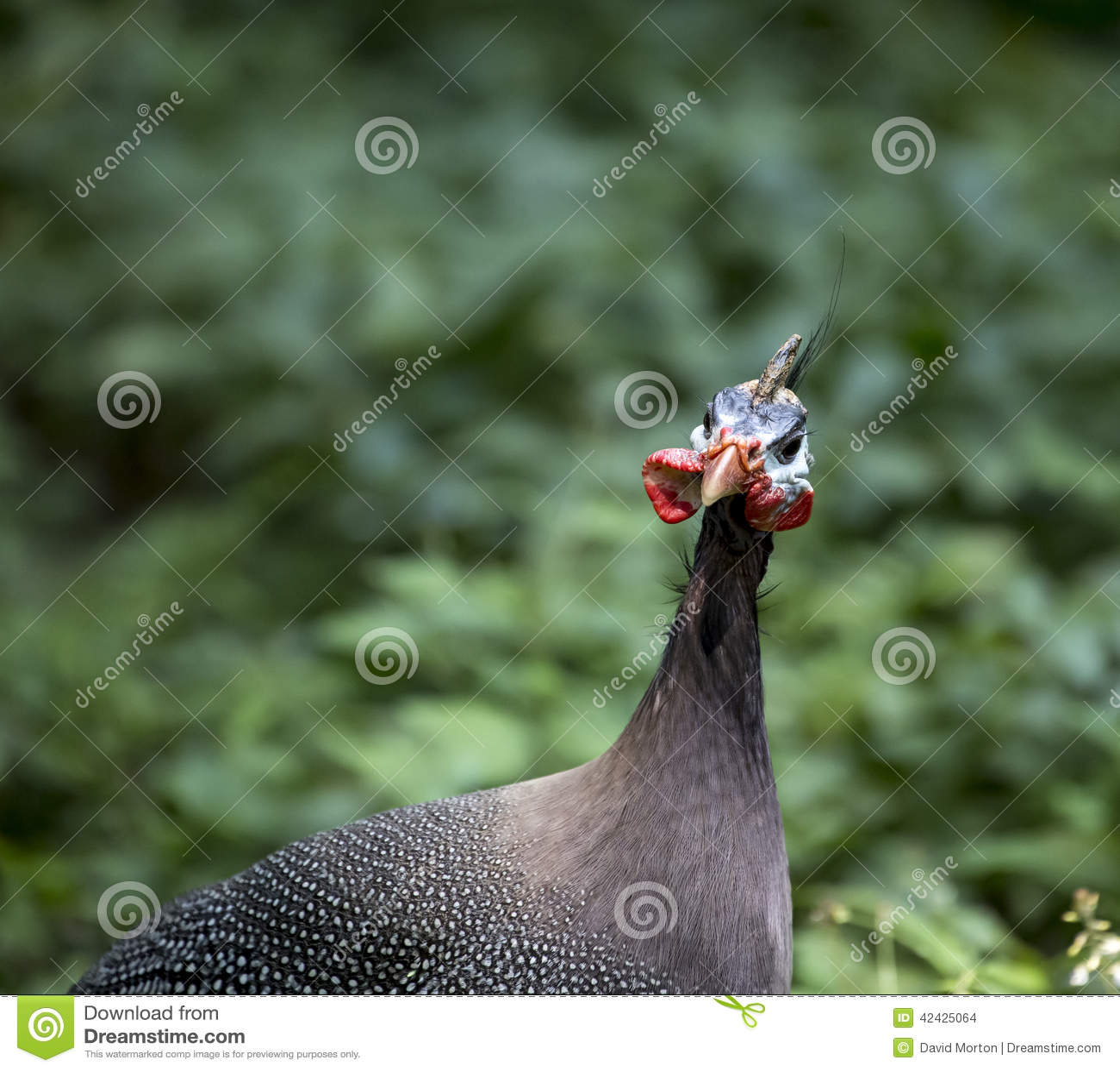 Detalle principal de las aves de Guinea