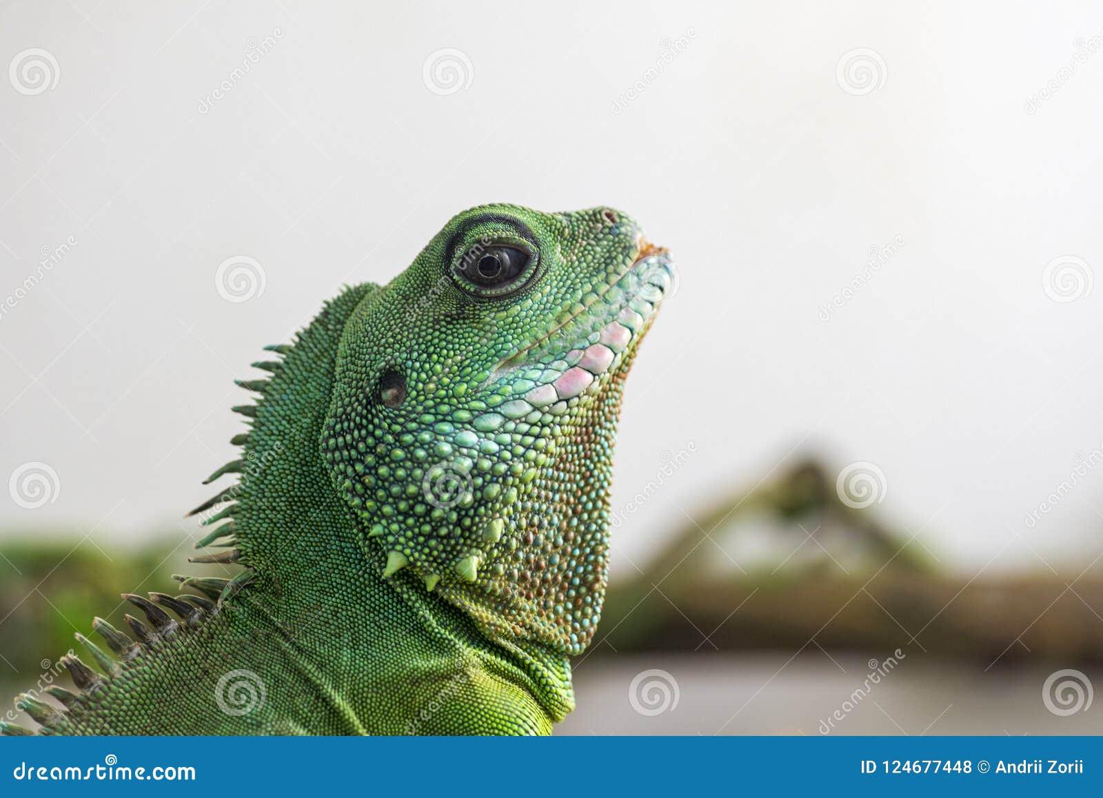 Detalle verde del perfil de la iguana Opinión del primer de la cabeza del ` s del lagarto El pequeño animal salvaje parece un dra