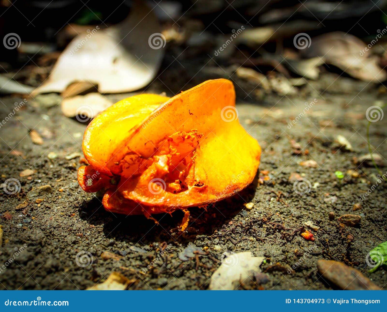 Deteriore frutos de estrela no tronco