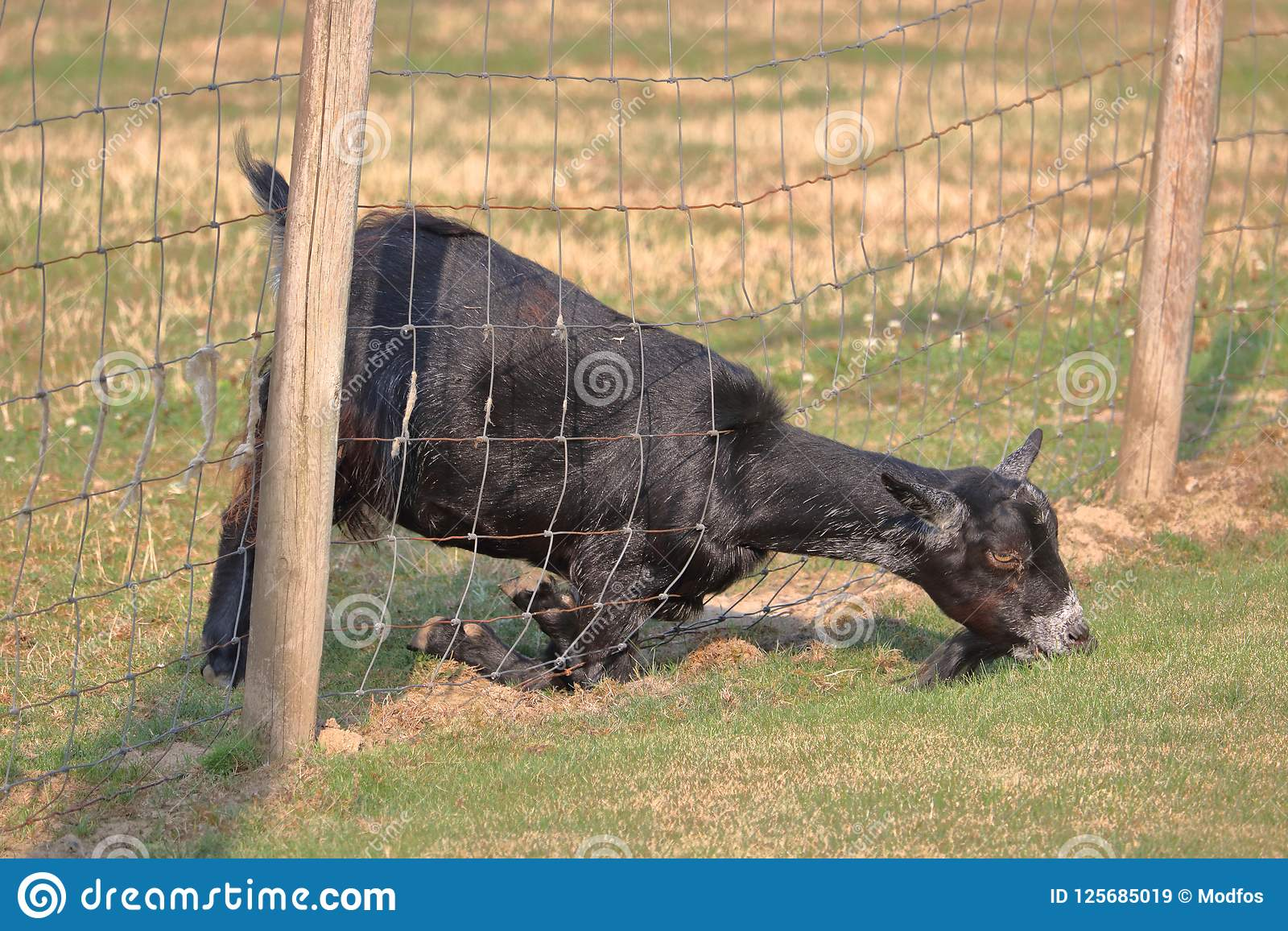 Determined Goat and Fence stock image  Image of feeding - 125685019