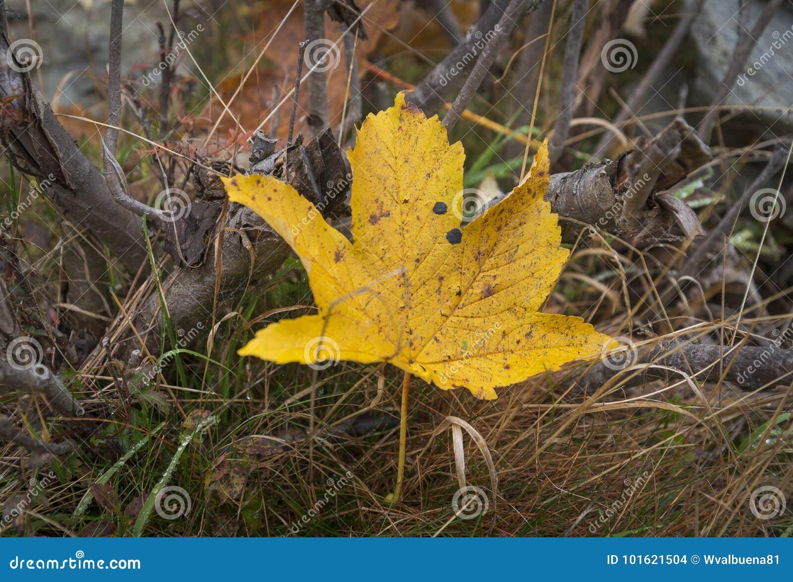 Dettaglio della foglia gialla caduta nella foresta
