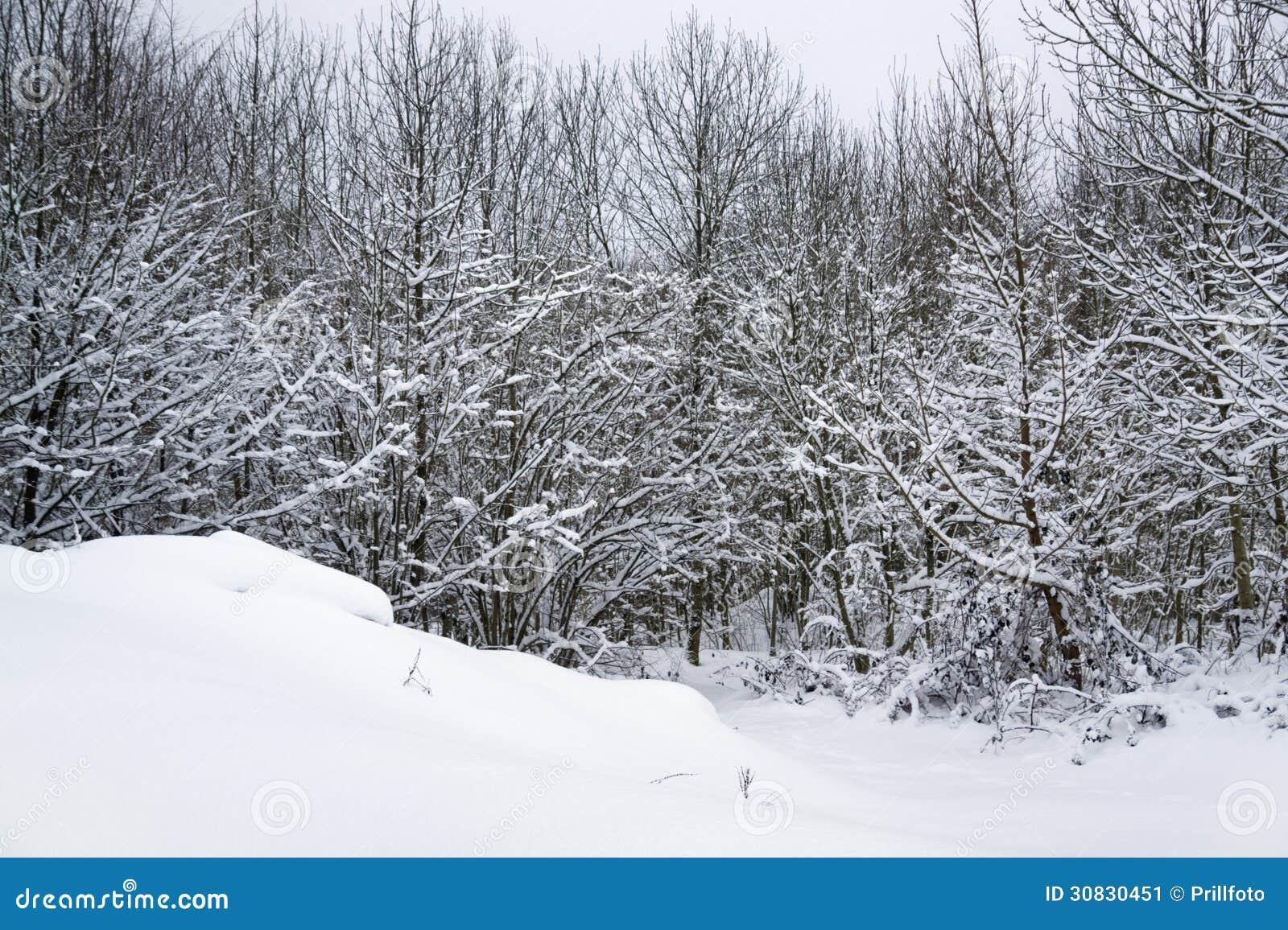 Dettaglio della foresta di Snowy