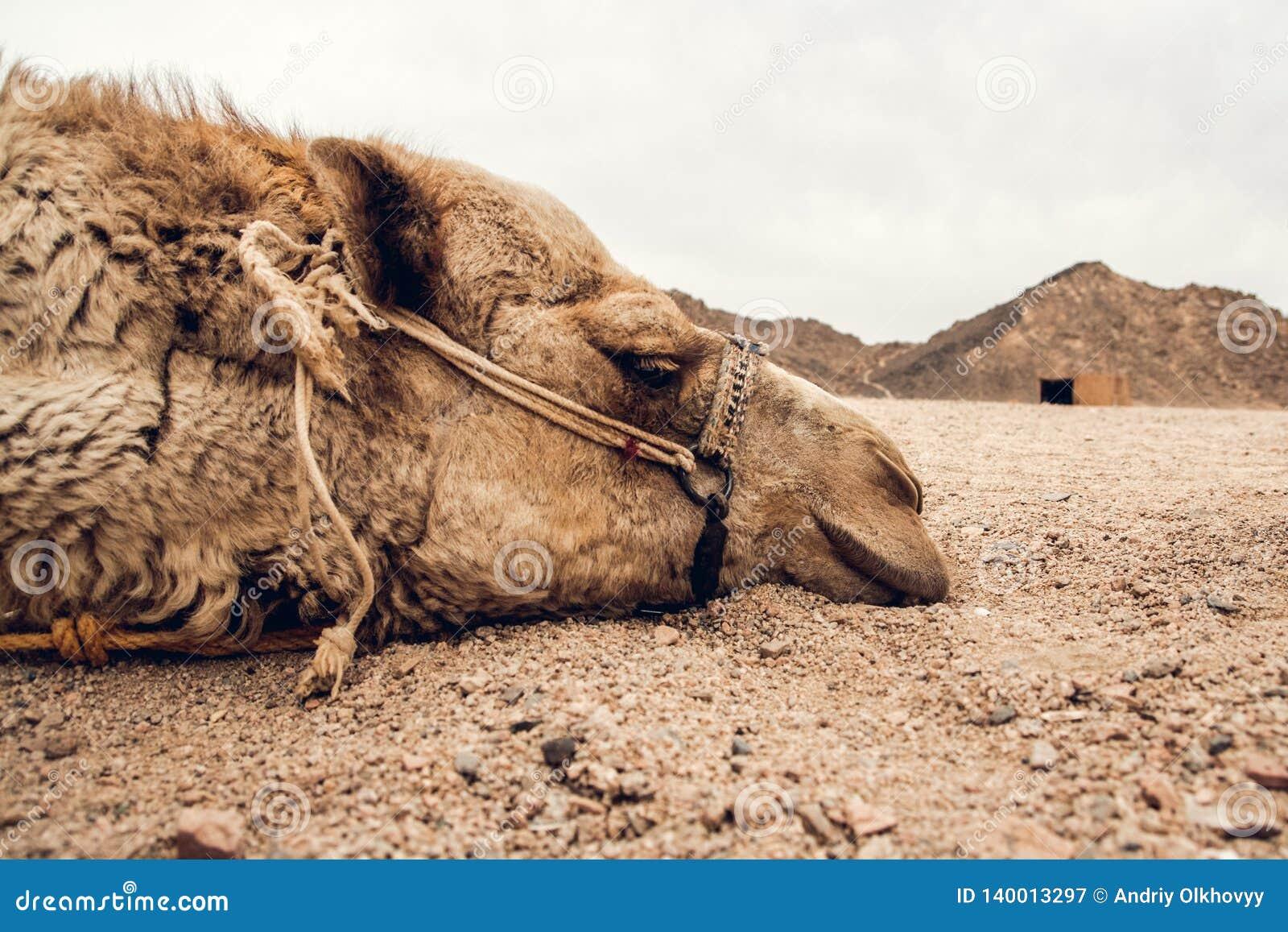 Dettaglio della testa del cammello nel deserto con l espressione divertente