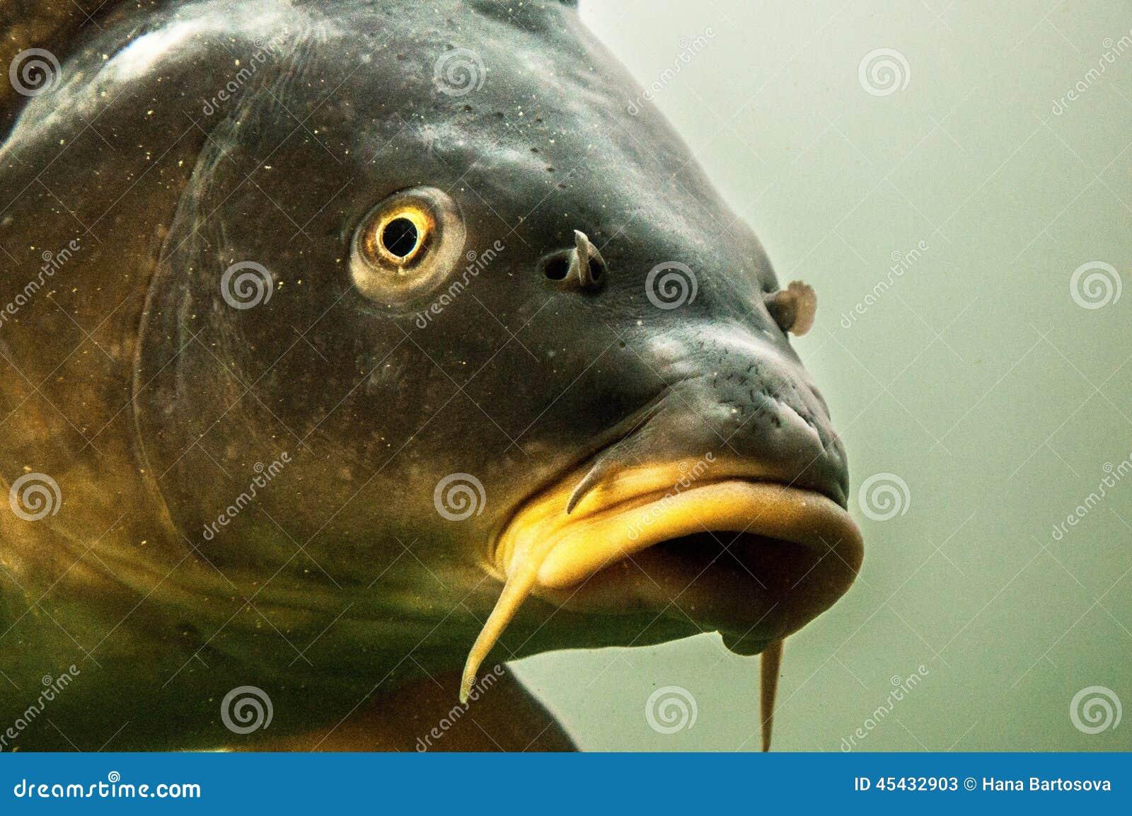 Dettaglio Della Testa Del Pesce Gatto Con I Barbi Lunghi Immagine