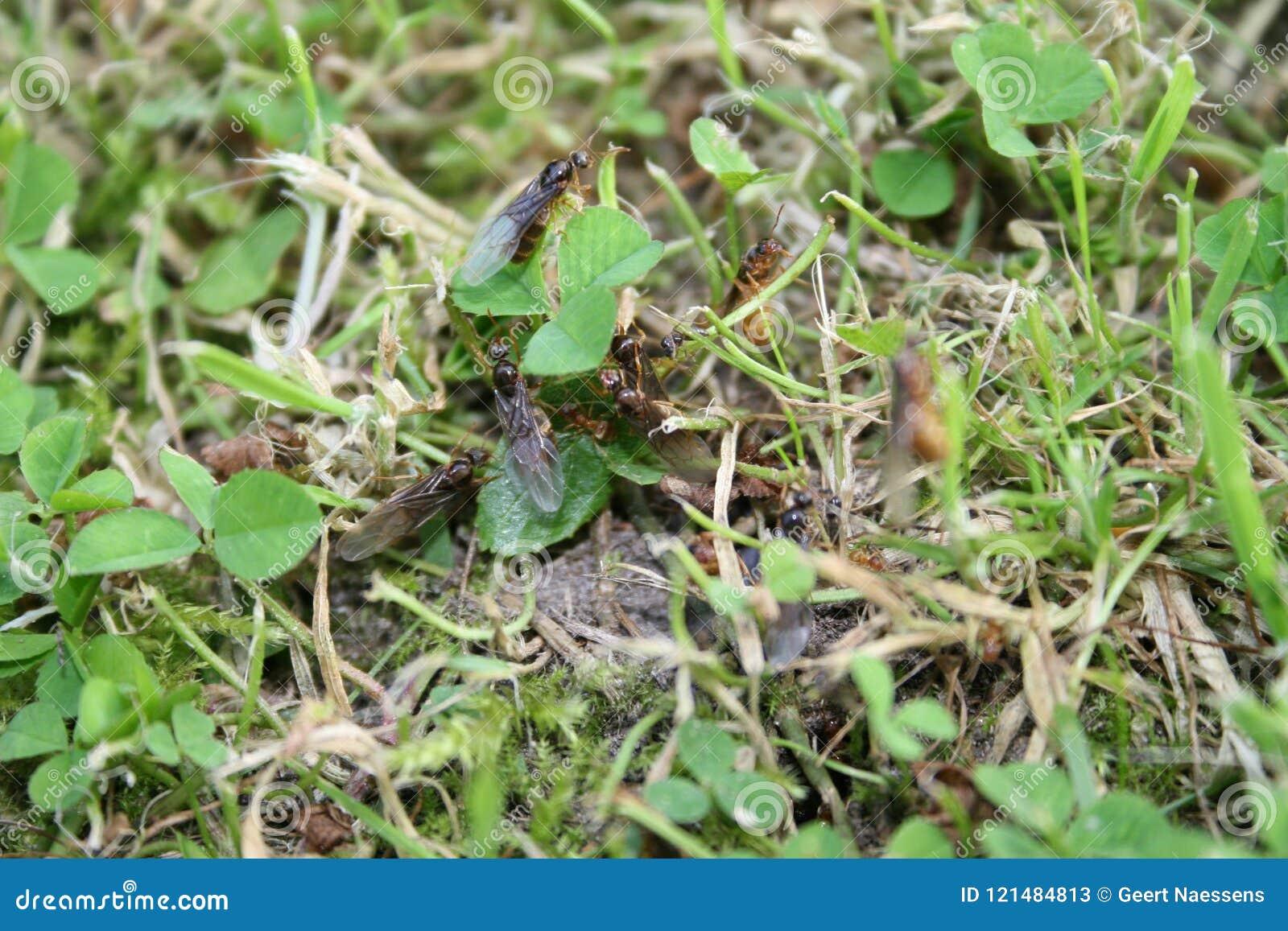 Dettaglio delle formiche di volo