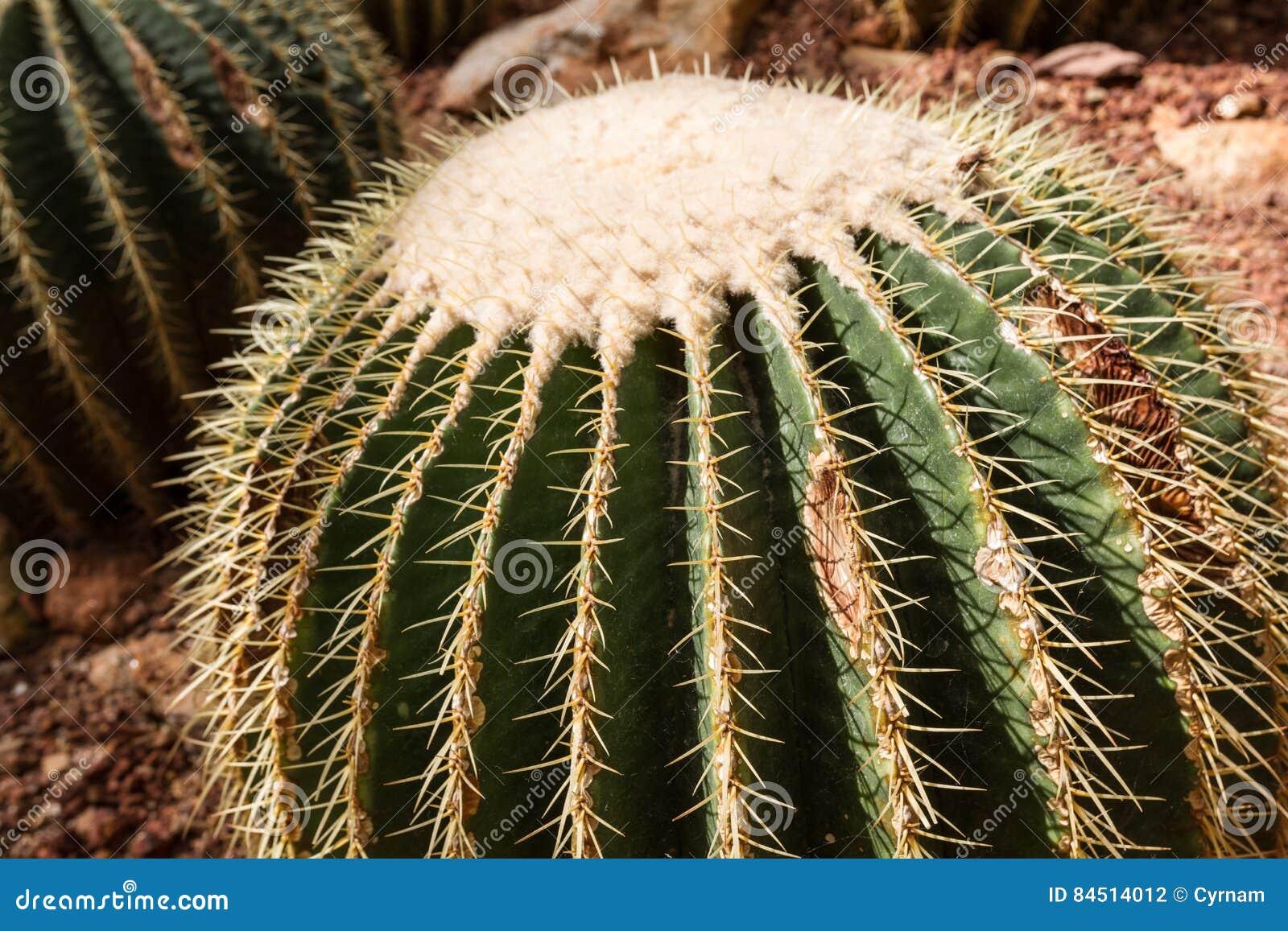 Dettaglio di bello grusonii di echinocactus del cactus di barilotto dorato in giardino botanico