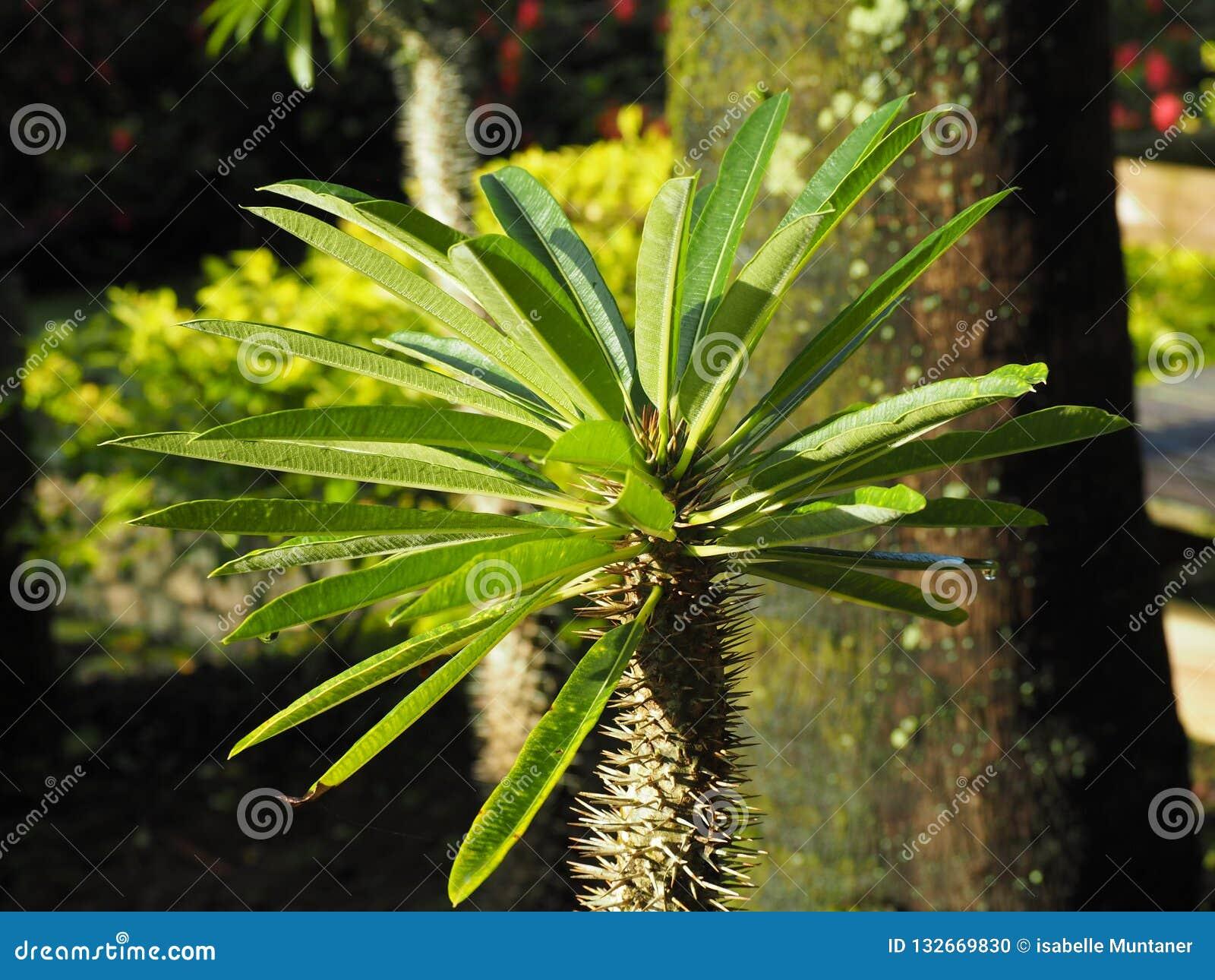 Dettaglio di una pianta succulente tropicale sull isola della Martinica