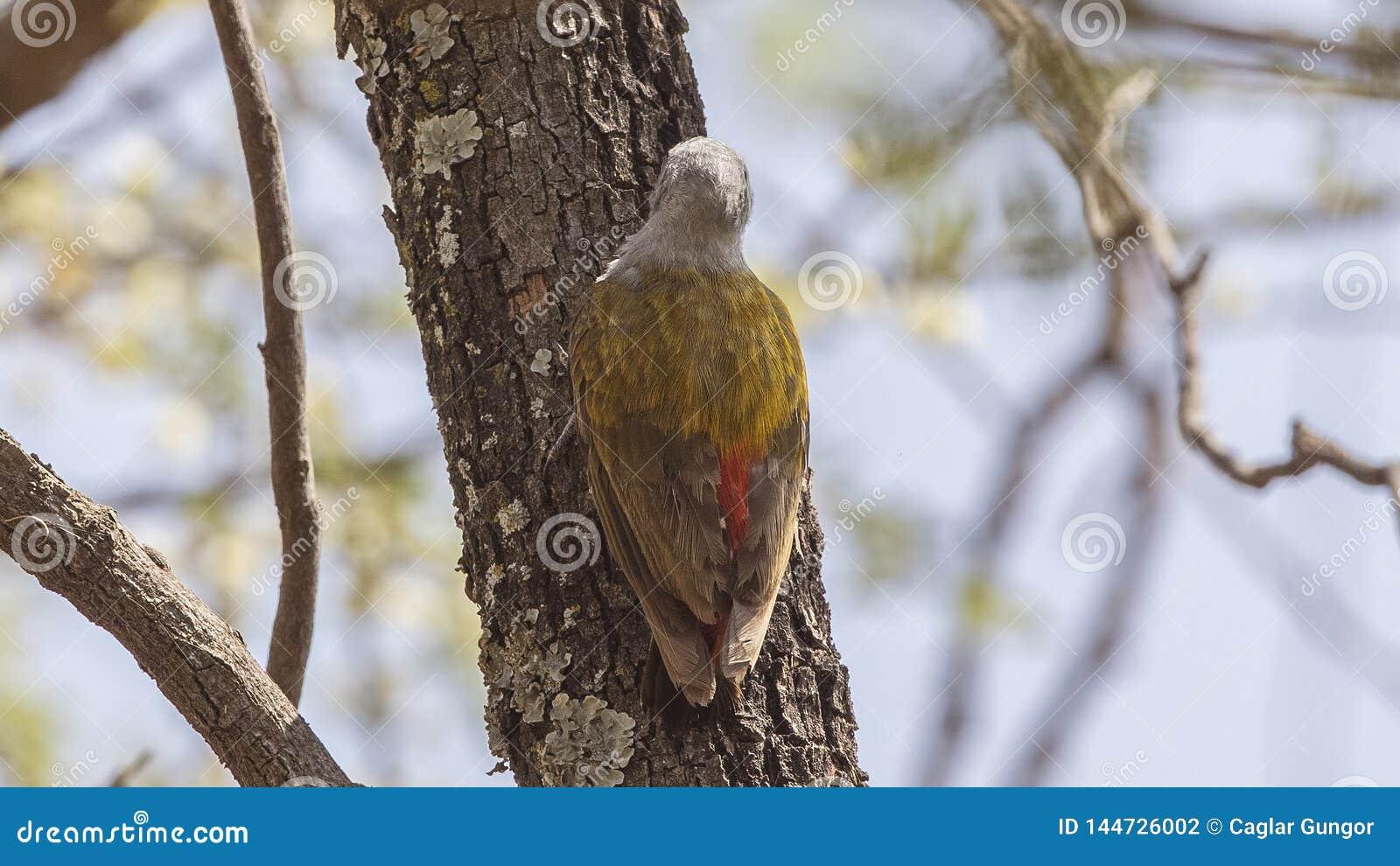 Dettaglio posteriore di Grey Woodpecker orientale