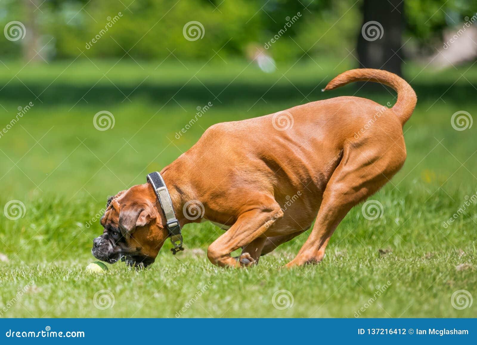 Deutscher Boxer Hund Der Einen Ball Auf Einem Gebiet Jagend Läuft