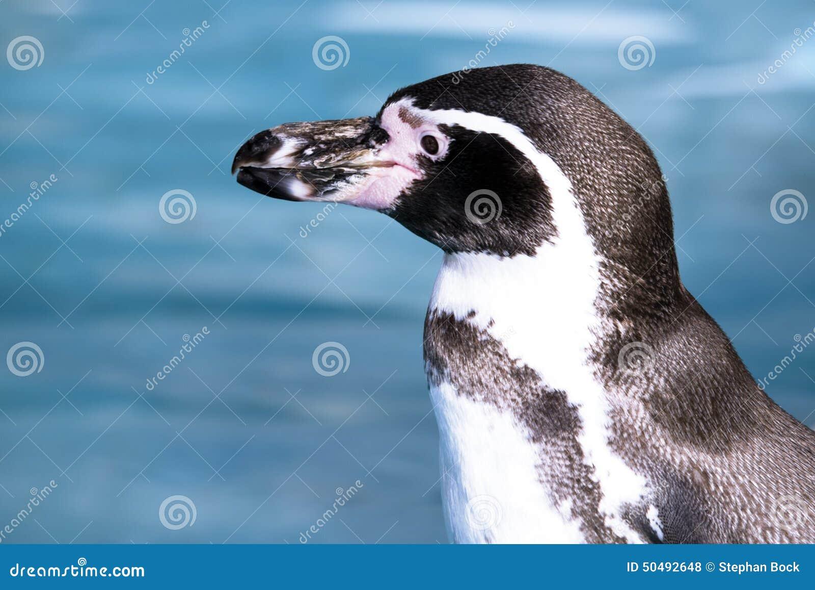 Deutschland, Köln, Humboldt-Pinguin im Zoo