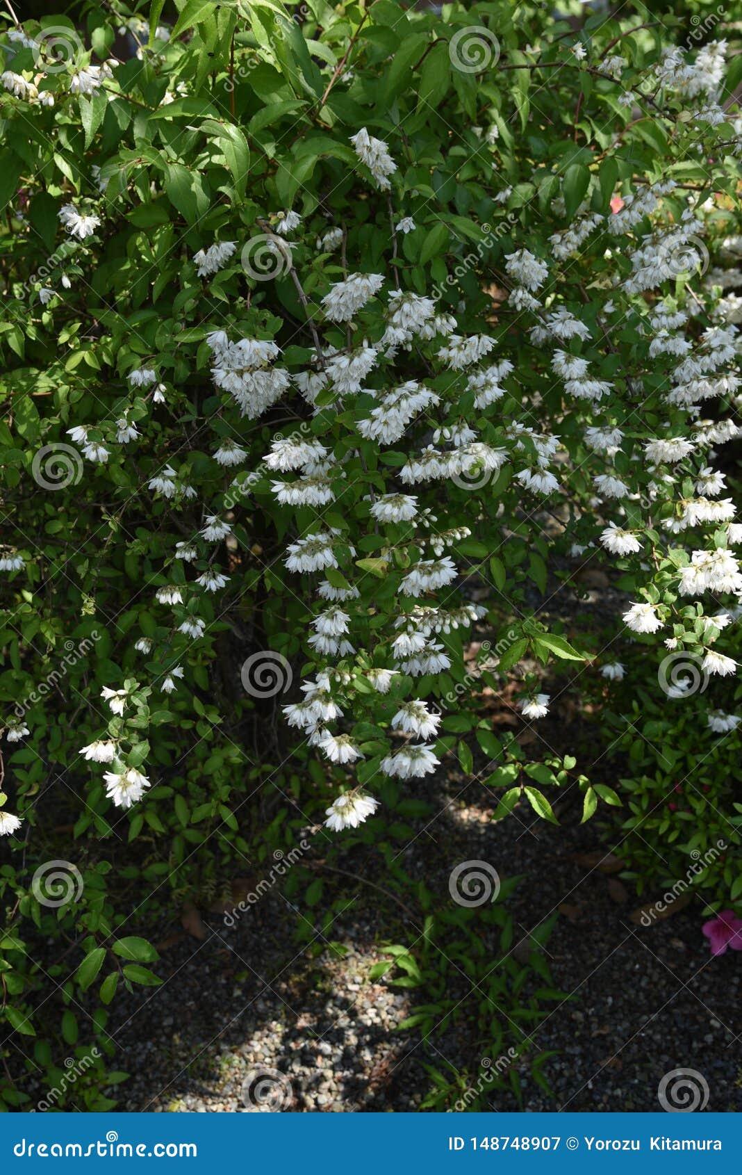 Deutzia crenata flowers
