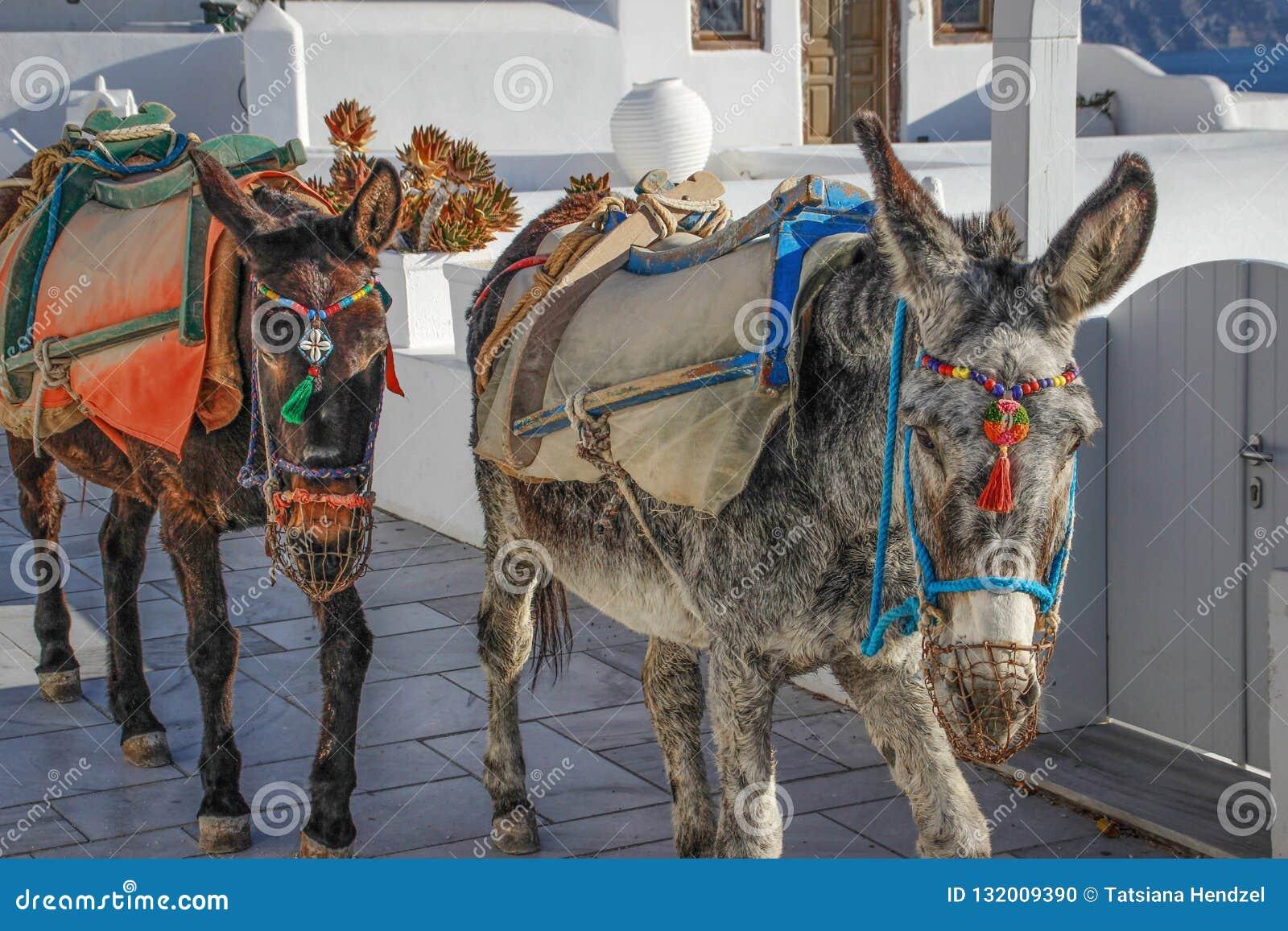 Deux ânes sur l île de Santorini