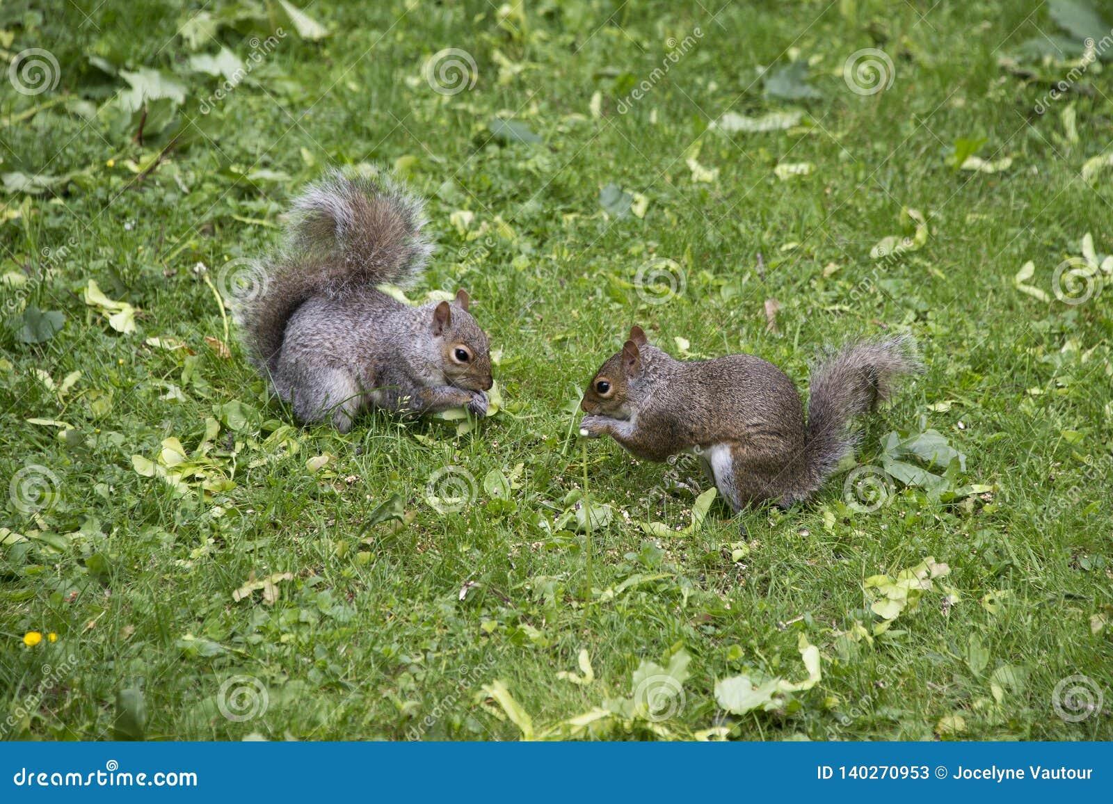 Deux écureuils gris mangeant dans une cour