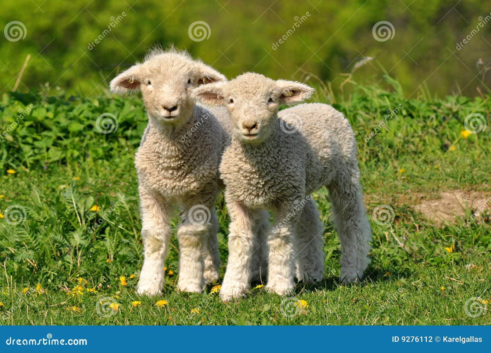 Deux agneaux mignons