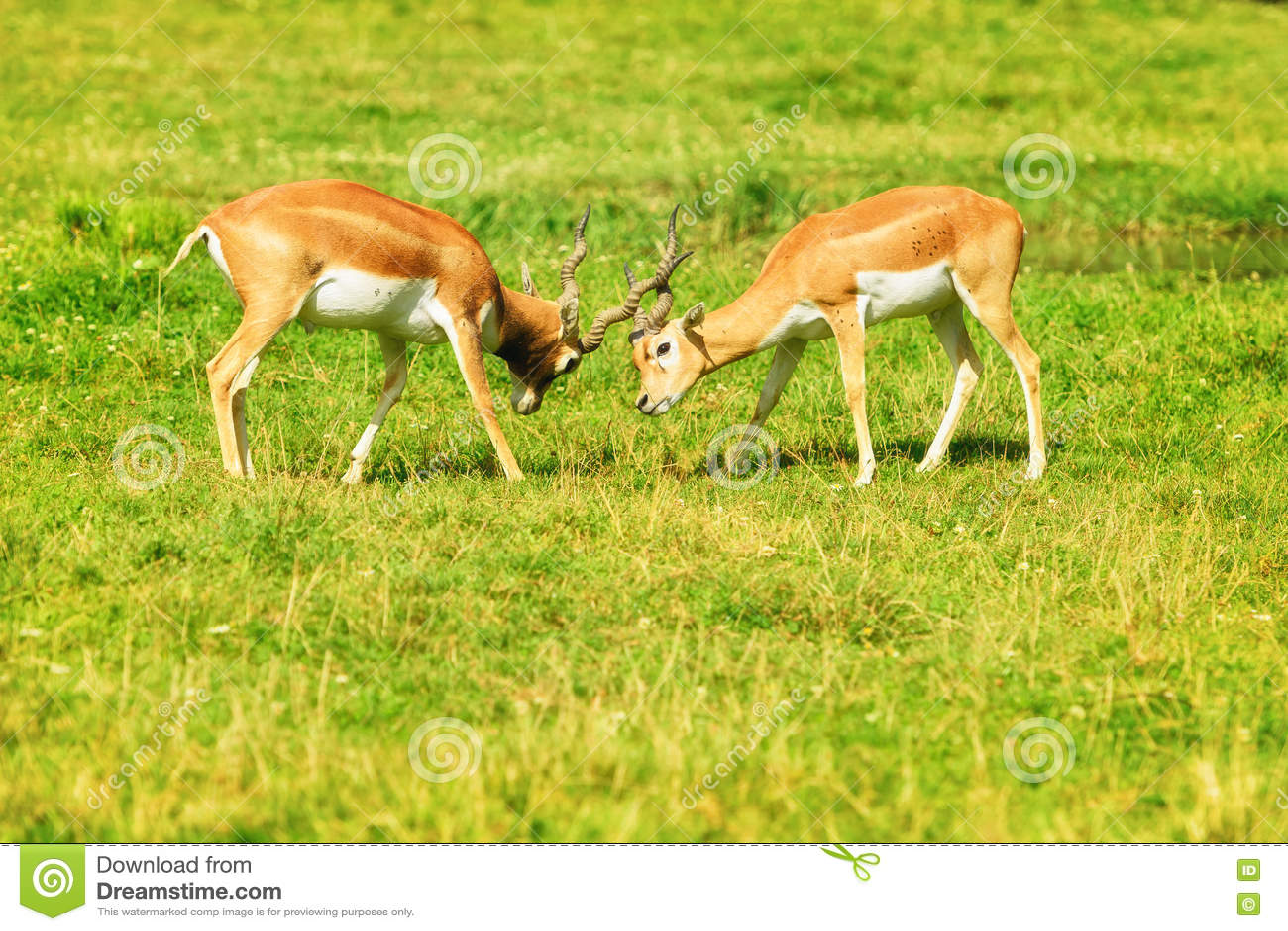 Deux antilopes brun-rougeâtre de combat sur l herbe