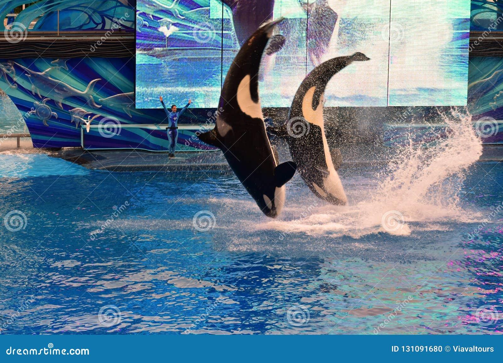 Deux baleines sautant dans un épaulard de la signature de SeaWorld d océan