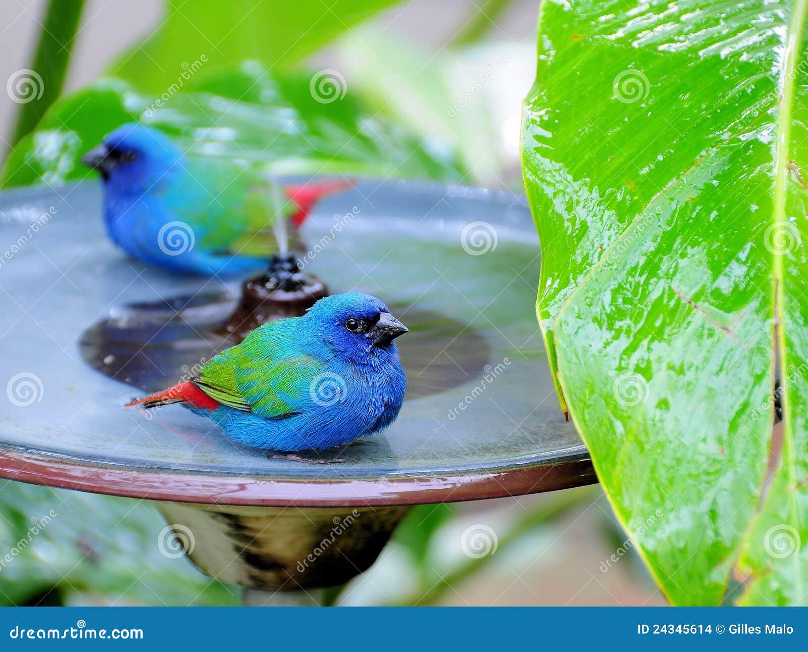 Deux Bleu-ont fait face à des oiseaux de Parrotfinch