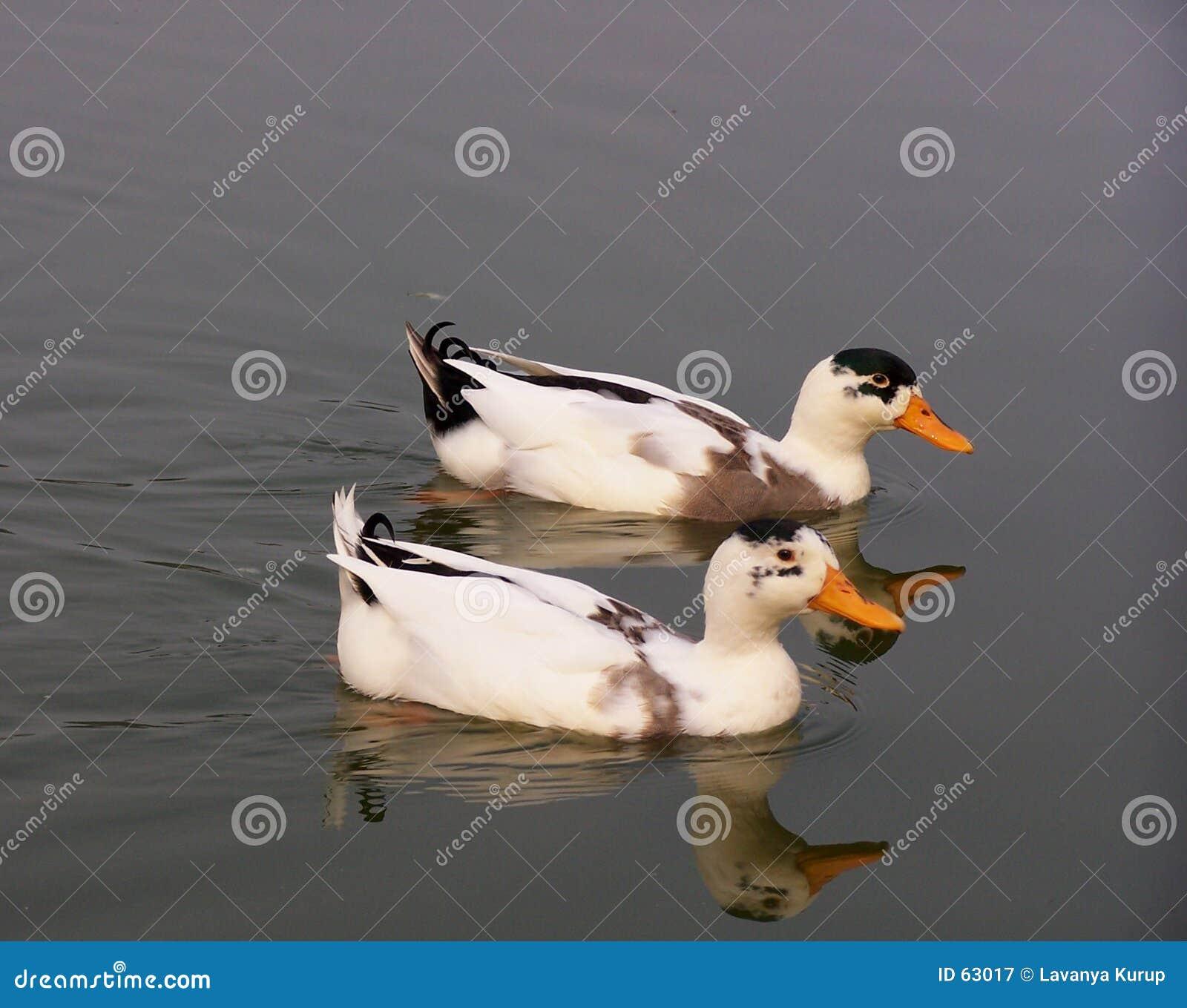 Download Deux canards image stock. Image du ensemble, amour, tranquille - 63017