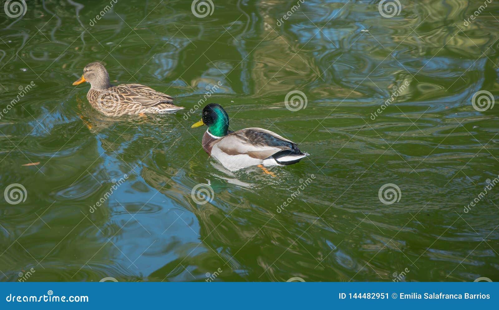 Deux canards marchant par l eau