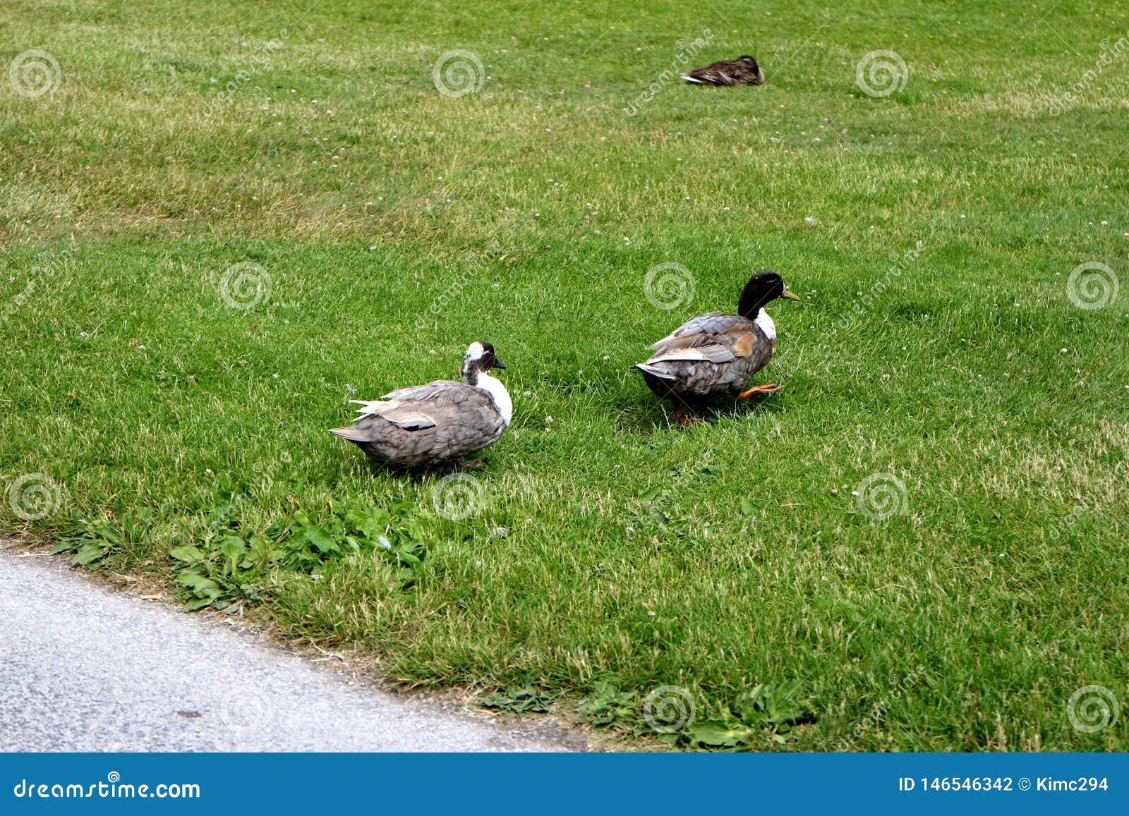 Deux canards marchent dans une rangée, à travers une pelouse verte en parc de ville