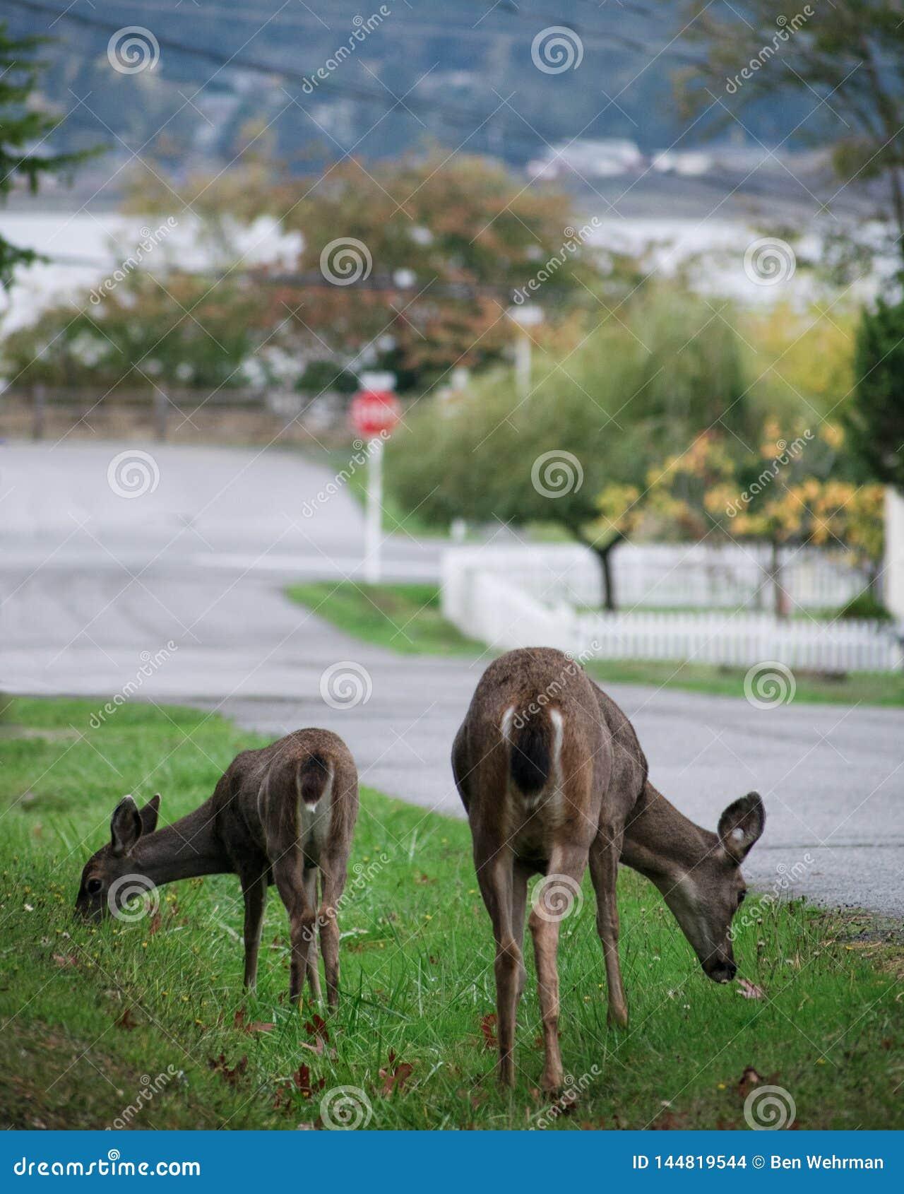Deux cerfs communs explorant une ville suburbaine