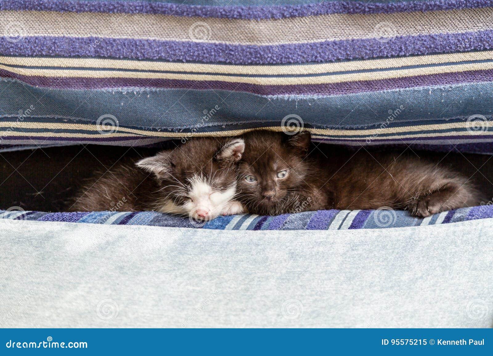 Deux chatons sur un divan bleu