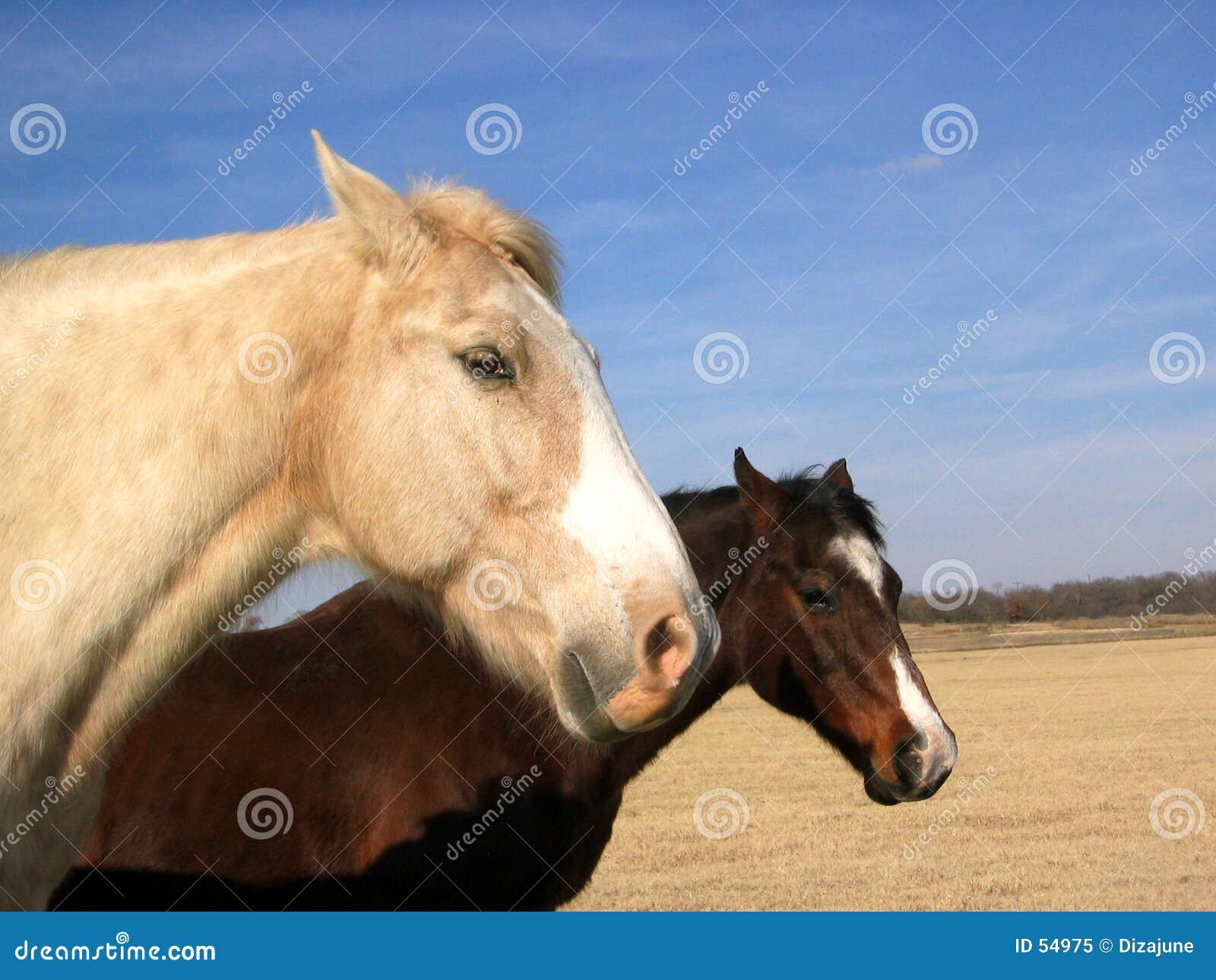 Download Deux chevaux image stock. Image du accouplement, ranch, favoris - 54975