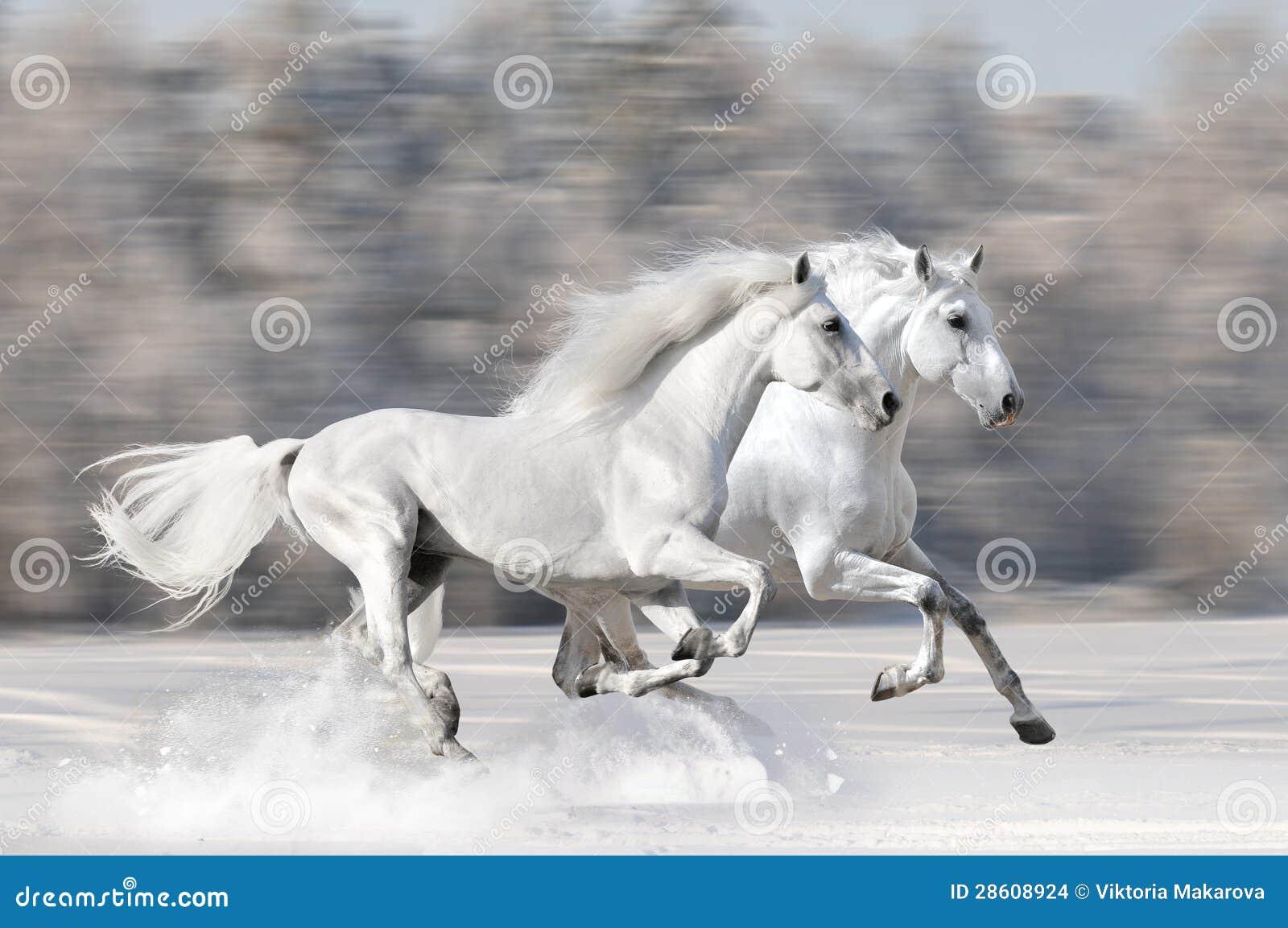 Deux chevaux blancs dans le galop de passage de l hiver