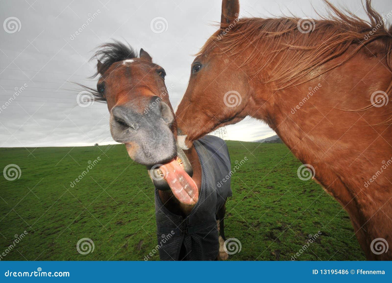 Deux chevaux embrassant avec la bouche ouverte