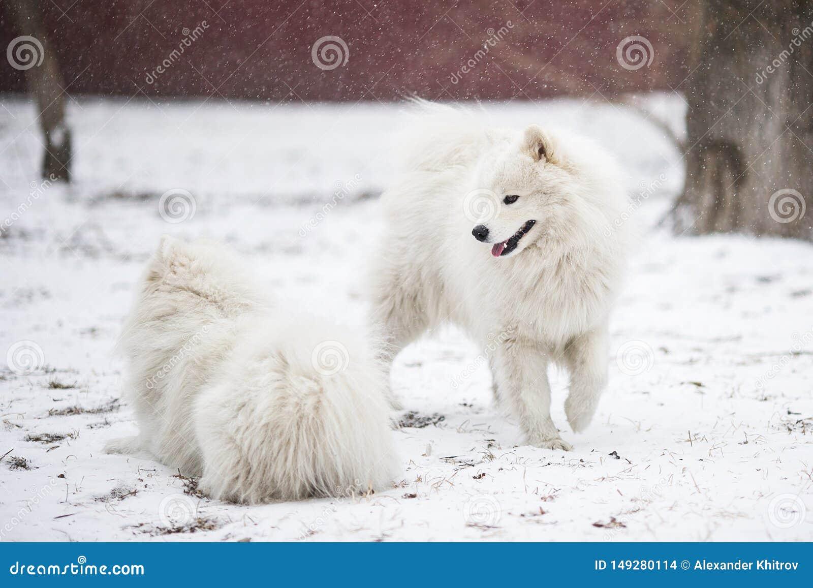 Deux chiens couverts de neige gambadent pendant l hiver sur la neige fraîchement tombée