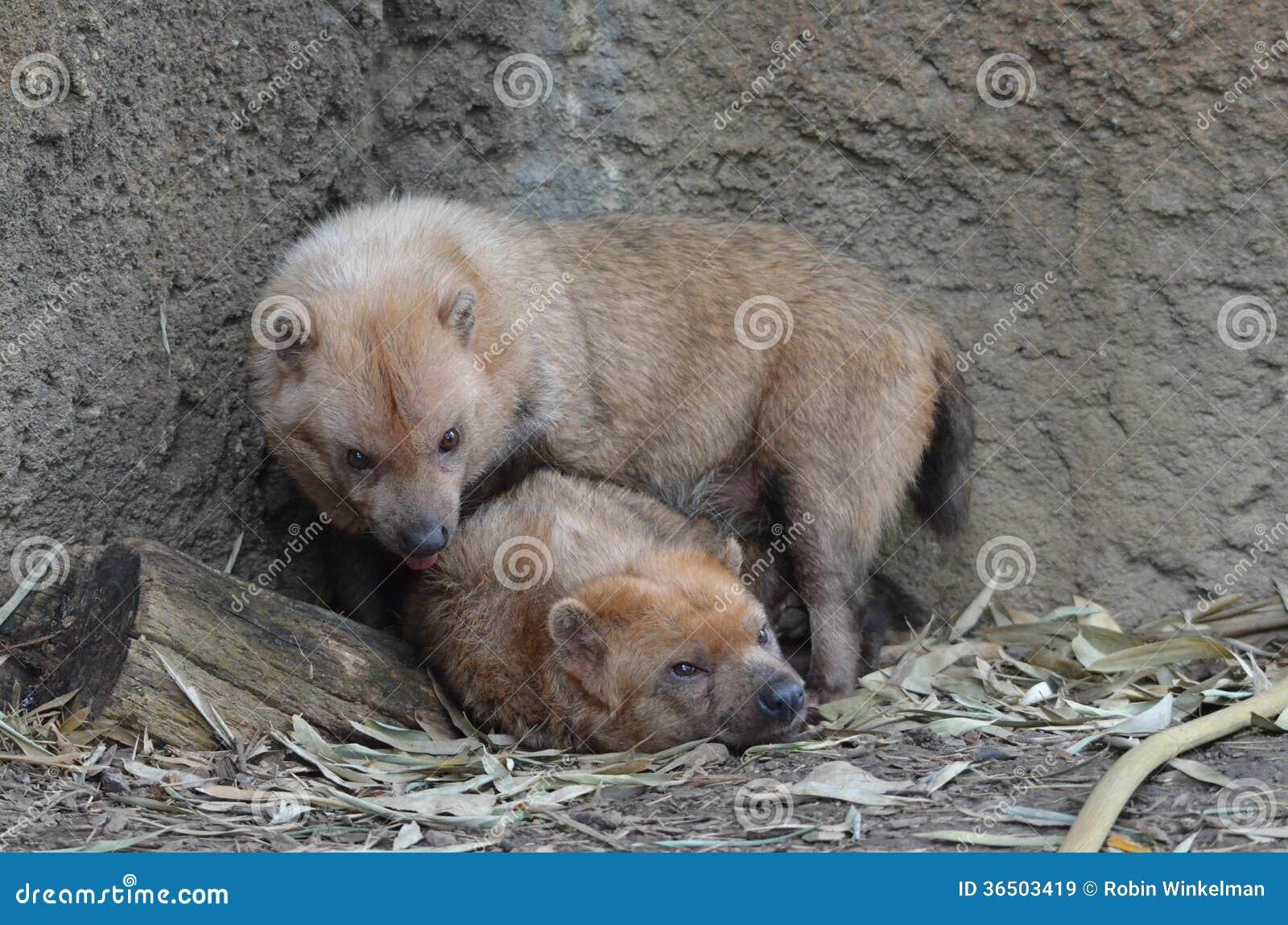 Deux chiens 4 de buisson