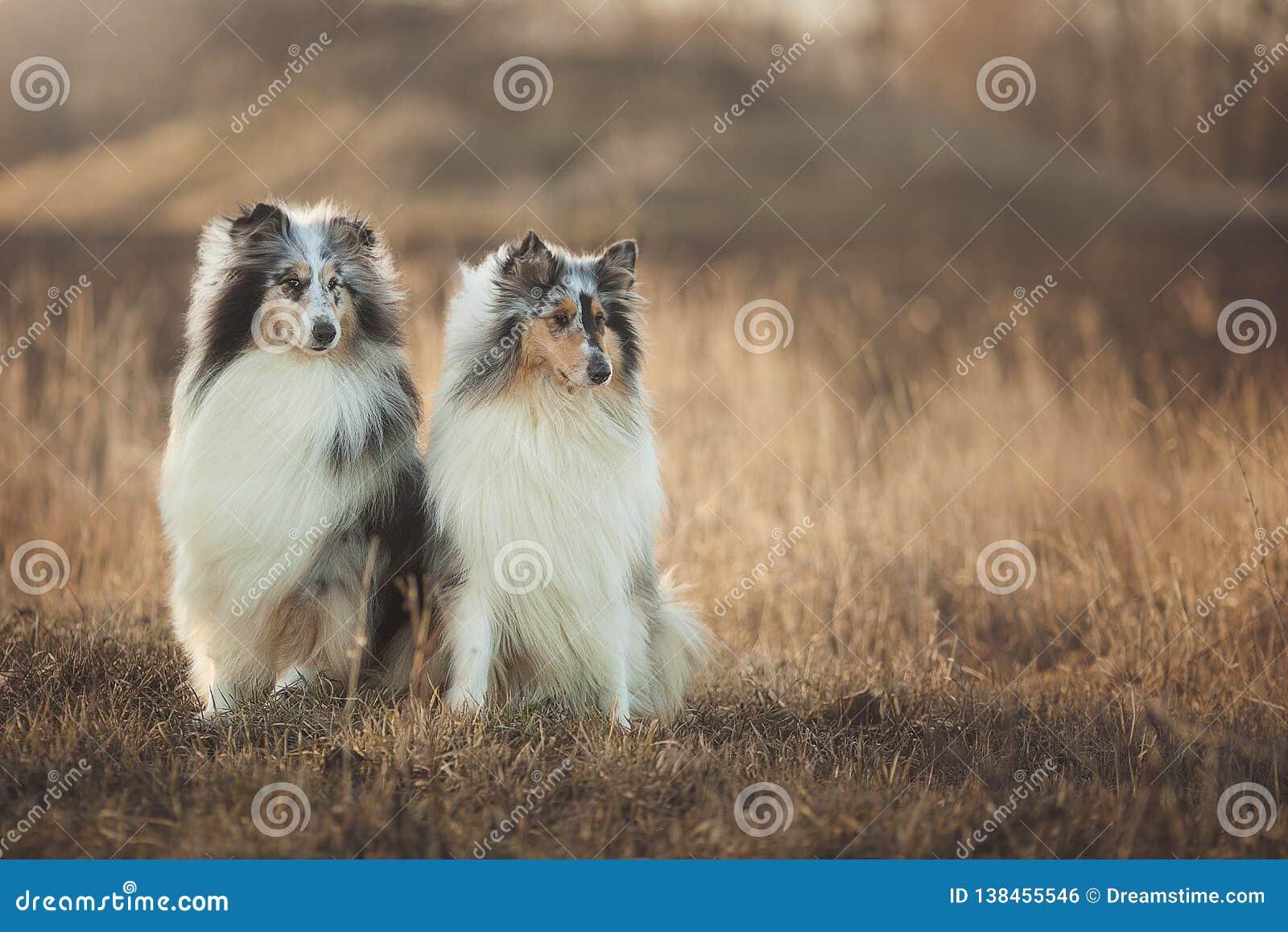 Deux chiens de colley se reposant dans un pré d automne au coucher du soleil